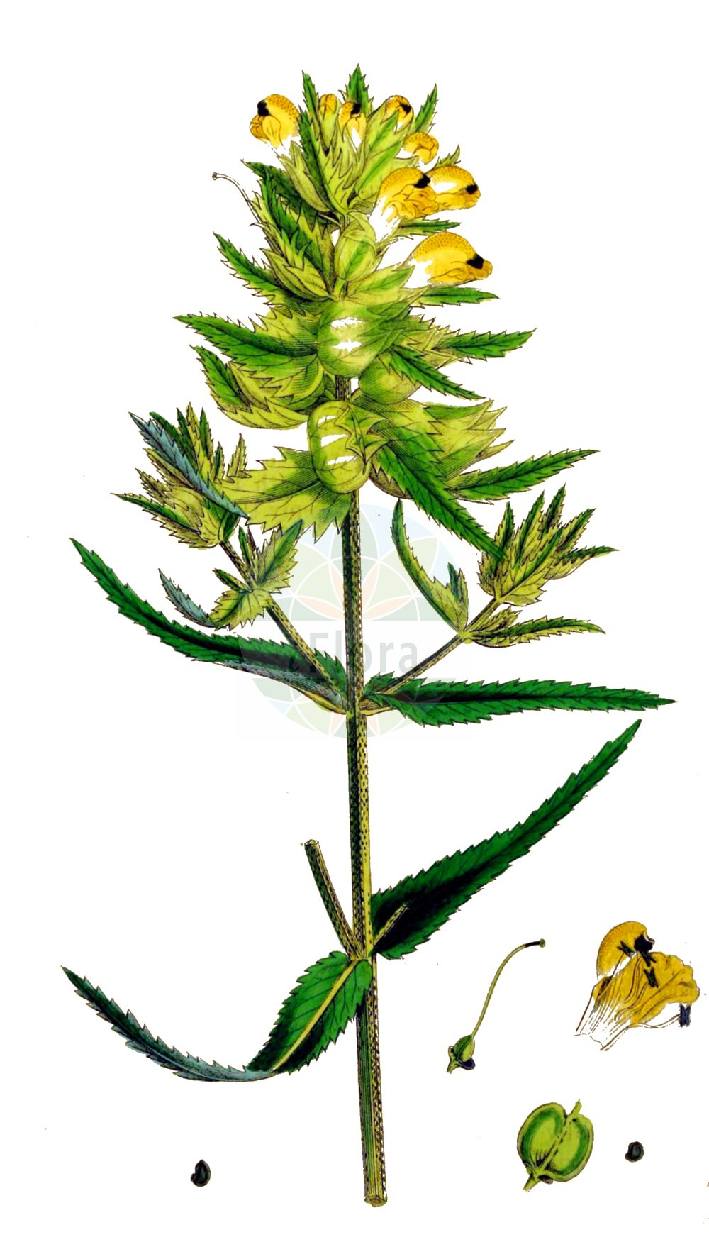Historische Abbildung von Rhinanthus angustifolius (Acker-Klappertopf - Late-flowering Yellow Rattle). Das Bild zeigt Blatt, Bluete, Frucht und Same. ---- Historical Drawing of Rhinanthus angustifolius (Acker-Klappertopf - Late-flowering Yellow Rattle).The image is showing leaf, flower, fruit and seed.(Rhinanthus angustifolius,Acker-Klappertopf,Late-flowering Yellow Rattle,Alectorolophus angustifolius,Alectorolophus glaber,Alectorolophus major,Alectorolophus major Rchb. subsp.,Alectorolophus serotinus,Rhinanthus angustifolius,Rhinanthus glaber,Rhinanthus paludosus,Rhinanthus serotinus,Rhinanthus serotinus subsp. polycladus,Acker-Klappertopf,Grosser Klappertopf,Late-flowering Yellow Rattle,Greater Yellow Rattle,Narrow-leaved Yellow Rattle,Southern Yellow Rattle,Rhinanthus,Klappertopf,Yellow Rattle,Orobanchaceae,Sommerwurzgewaechse,Broomrape family,Blatt,Bluete,Frucht,Same,leaf,flower,fruit,seed,Sowerby (1790-1813))