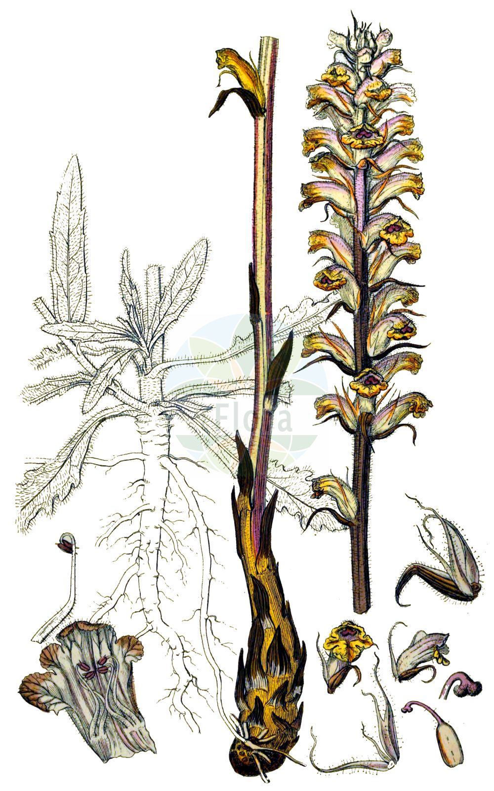 Historische Abbildung von Orobanche artemisiae-campestris (Panzer-Sommerwurz - Oxtongue Broomrape). Das Bild zeigt Blatt, Bluete, Frucht und Same. ---- Historical Drawing of Orobanche artemisiae-campestris (Panzer-Sommerwurz - Oxtongue Broomrape).The image is showing leaf, flower, fruit and seed.(Orobanche artemisiae-campestris,Panzer-Sommerwurz,Oxtongue Broomrape,Orobanche ambigua,Orobanche artemisiae,Orobanche artemisiae-campestris,Orobanche carotae,Orobanche centaurina,Orobanche hieracii-pilosellae,Orobanche lilacina,Orobanche loricata,Orobanche picridis,Orobanche picridis-hieracioidis,Orobanche santolinae,Orobanche scolymi,Panzer-Sommerwurz,Oxtongue Broomrape,Mugwort Broomrape,Orobanche,Sommerwurz,Broomrape,Orobanchaceae,Sommerwurzgewaechse,Broomrape family,Blatt,Bluete,Frucht,Same,leaf,flower,fruit,seed,Sowerby (1790-1813))
