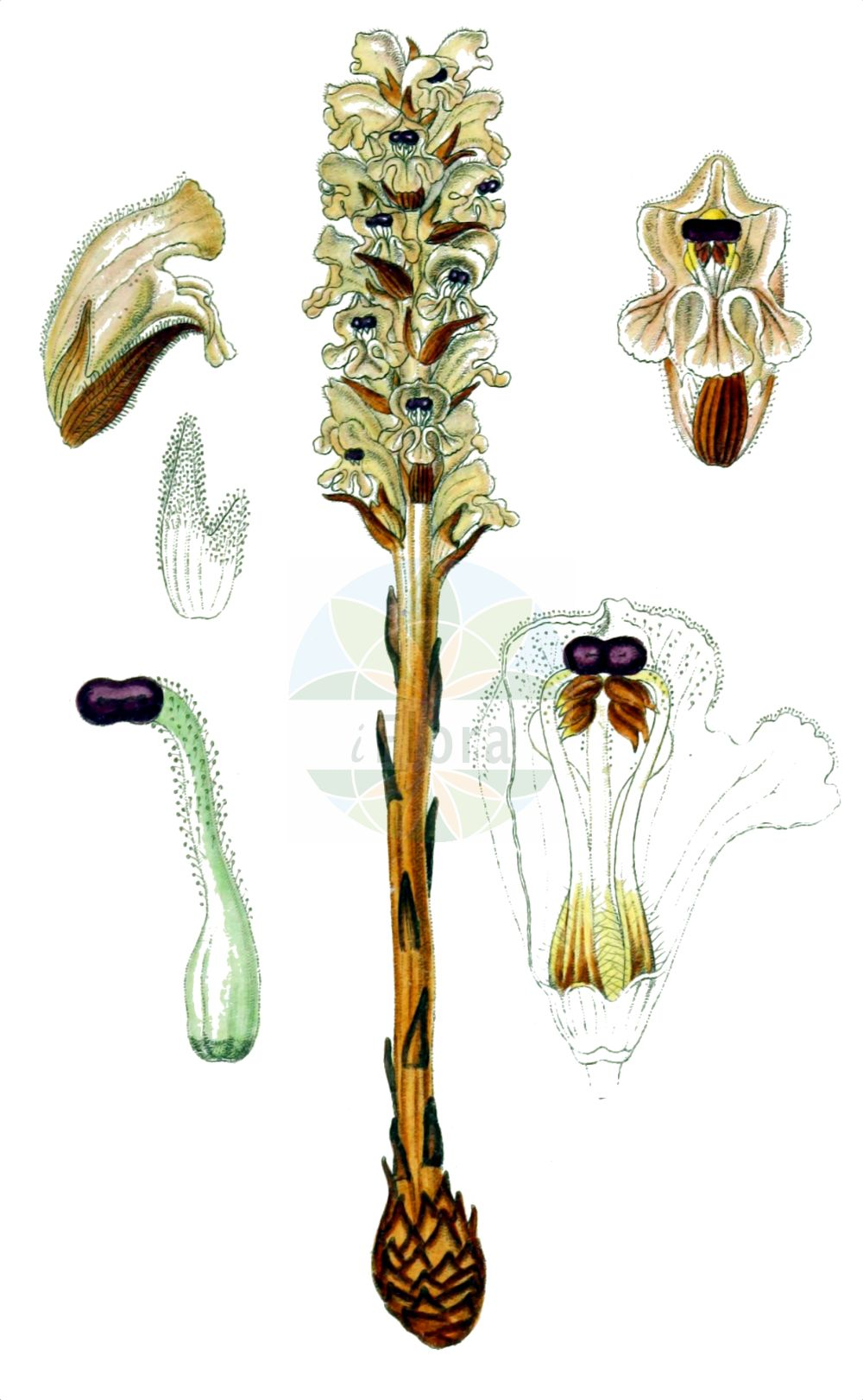 Historische Abbildung von Orobanche caryophyllacea (Nelken-Sommerwurz - Bedstraw Broomrape). Das Bild zeigt Blatt, Bluete, Frucht und Same. ---- Historical Drawing of Orobanche caryophyllacea (Nelken-Sommerwurz - Bedstraw Broomrape).The image is showing leaf, flower, fruit and seed.(Orobanche caryophyllacea,Nelken-Sommerwurz,Bedstraw Broomrape,Orobanche buhsei,Orobanche caryophyllacea,Orobanche clausonis,Orobanche galii,Orobanche hesperina,Orobanche vulgaris,Nelken-Sommerwurz,Gemeine Sommerwurz,Bedstraw Broomrape,Clove-scented Broomrape,Orobanche,Sommerwurz,Broomrape,Orobanchaceae,Sommerwurzgewaechse,Broomrape family,Blatt,Bluete,Frucht,Same,leaf,flower,fruit,seed,Sturm (1796f))