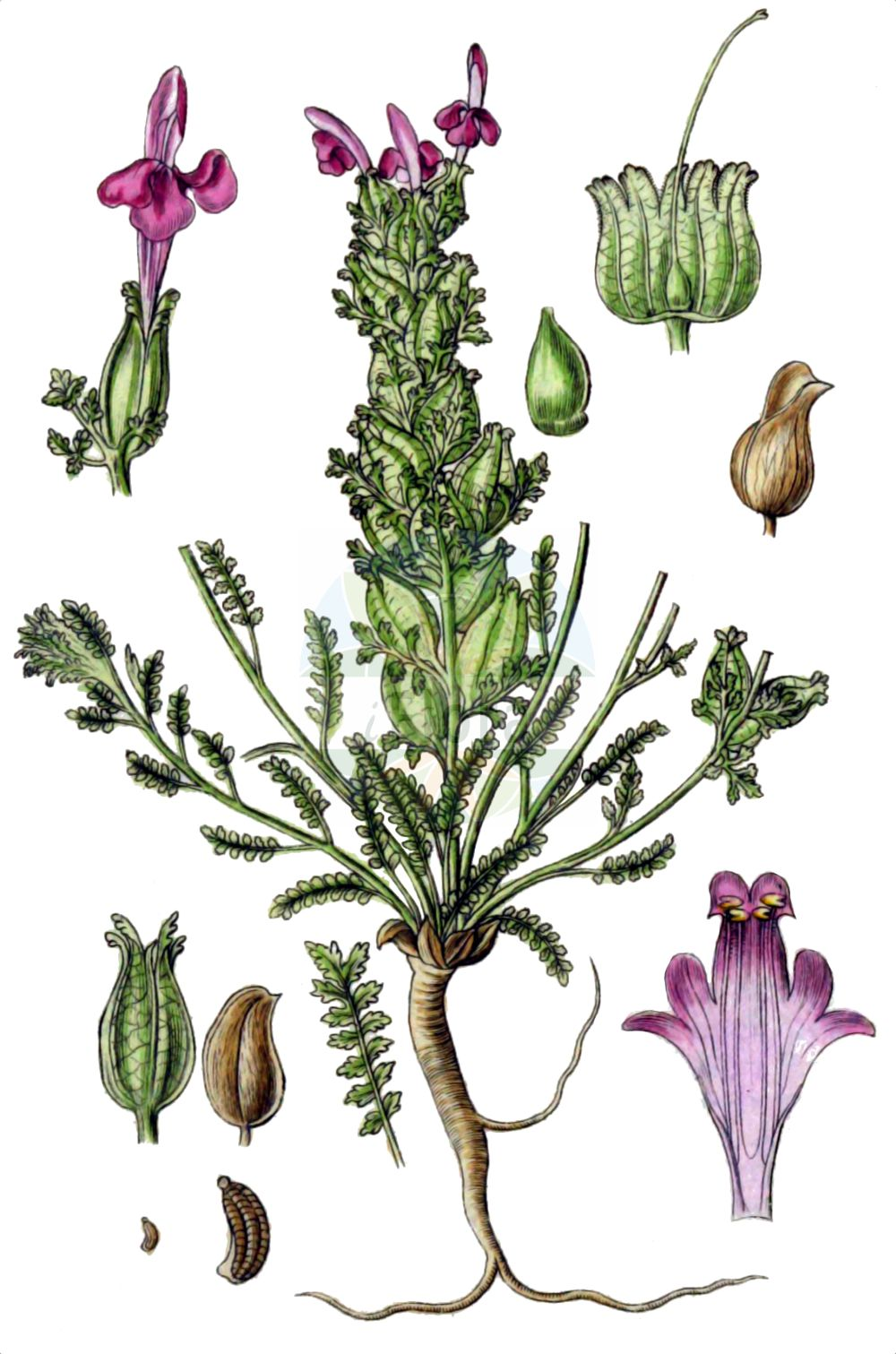 Historische Abbildung von Pedicularis sylvatica (Wald-Laeusekraut - Lousewort). Das Bild zeigt Blatt, Bluete, Frucht und Same. ---- Historical Drawing of Pedicularis sylvatica (Wald-Laeusekraut - Lousewort).The image is showing leaf, flower, fruit and seed.(Pedicularis sylvatica,Wald-Laeusekraut,Lousewort,Pedicularis sylvatica,Wald-Laeusekraut,Lousewort,Common Lousewort,Pedicularis,Laeusekraut,Lousewort,Orobanchaceae,Sommerwurzgewaechse,Broomrape family,Blatt,Bluete,Frucht,Same,leaf,flower,fruit,seed,Sturm (1796f))