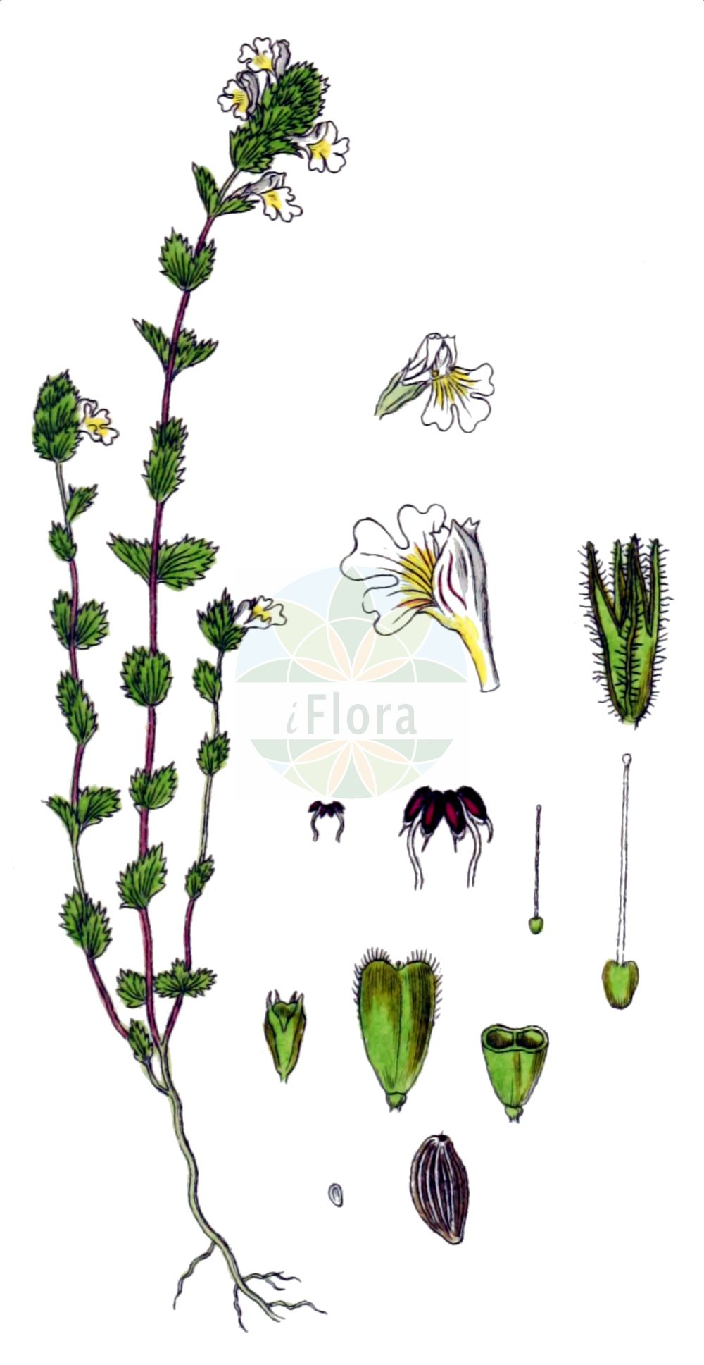 Historische Abbildung von Euphrasia rostkoviana (Bunter Augentrost - Eyebright). Das Bild zeigt Blatt, Bluete, Frucht und Same. ---- Historical Drawing of Euphrasia rostkoviana (Bunter Augentrost - Eyebright).The image is showing leaf, flower, fruit and seed.(Euphrasia rostkoviana,Bunter Augentrost,Eyebright,Euphrasia officinalis,Euphrasia pratensis,Euphrasia rostkoviana,Bunter Augentrost,Gewoehnlicher Augentrost,Grosser Augentrost,Wiesen-Augentrost,Eyebright,Euphrasia,Augentrost,Eyebright,Orobanchaceae,Sommerwurzgewaechse,Broomrape family,Blatt,Bluete,Frucht,Same,leaf,flower,fruit,seed,Sturm (1796f))