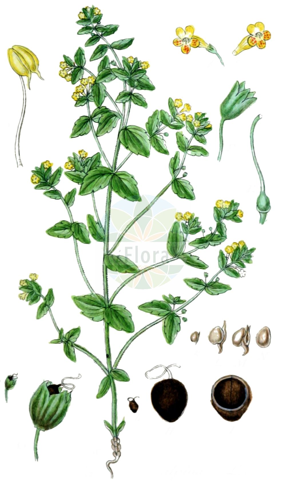 Historische Abbildung von Tozzia alpina (Alpenrachen - Alpine Tozzia). Das Bild zeigt Blatt, Bluete, Frucht und Same. ---- Historical Drawing of Tozzia alpina (Alpenrachen - Alpine Tozzia).The image is showing leaf, flower, fruit and seed.(Tozzia alpina,Alpenrachen,Alpine Tozzia,Tozzia alpina,Alpenrachen,Tozzie,Alpine Tozzia,Tozzia,Alpenrachen,Orobanchaceae,Sommerwurzgewaechse,Broomrape family,Blatt,Bluete,Frucht,Same,leaf,flower,fruit,seed,Sturm (1796f))