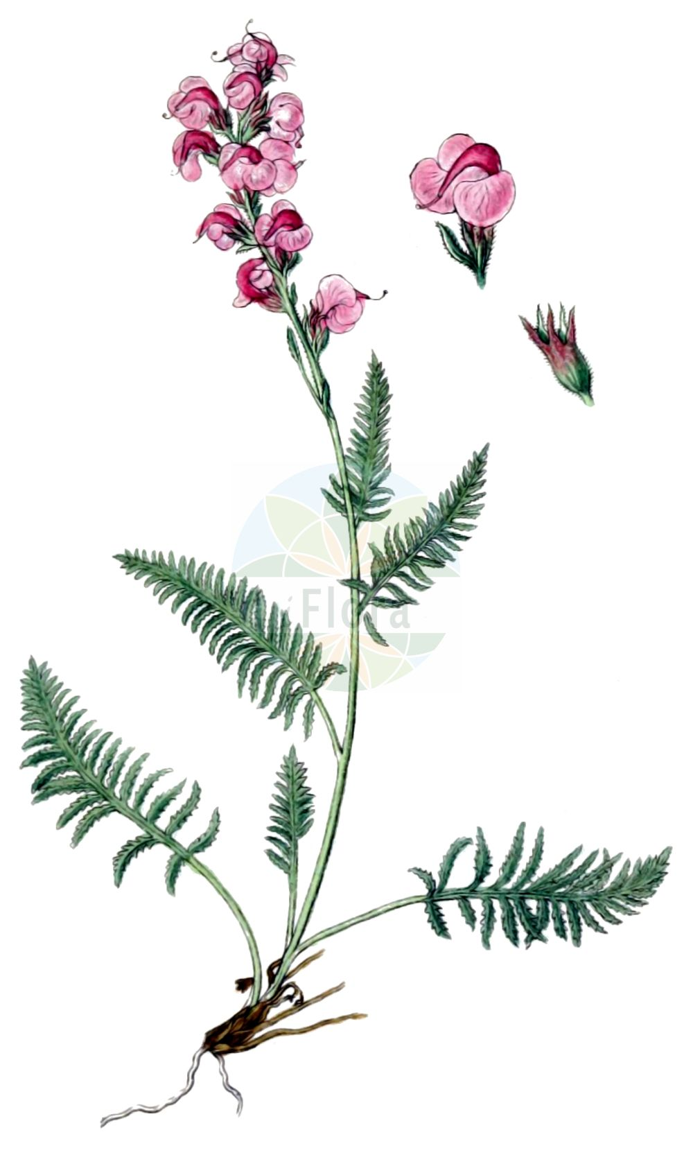 Historische Abbildung von Pedicularis rostratospicata (Fleischrotes Laeusekraut - Flesh-pink Lousewort). Das Bild zeigt Blatt, Bluete, Frucht und Same. ---- Historical Drawing of Pedicularis rostratospicata (Fleischrotes Laeusekraut - Flesh-pink Lousewort).The image is showing leaf, flower, fruit and seed.(Pedicularis rostratospicata,Fleischrotes Laeusekraut,Flesh-pink Lousewort,Pedicularis incarnata,Pedicularis rostratospicata,Fleischrotes Laeusekraut,Flesh-pink Lousewort,Pedicularis,Laeusekraut,Lousewort,Orobanchaceae,Sommerwurzgewaechse,Broomrape family,Blatt,Bluete,Frucht,Same,leaf,flower,fruit,seed,Sturm (1796f))