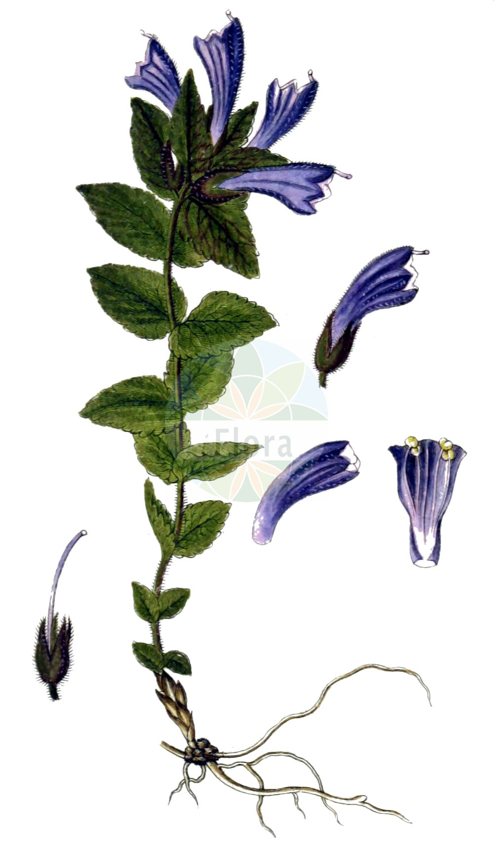 Historische Abbildung von Bartsia alpina (Alpenhelm - Alpine Bartsia). Das Bild zeigt Blatt, Bluete, Frucht und Same. ---- Historical Drawing of Bartsia alpina (Alpenhelm - Alpine Bartsia).The image is showing leaf, flower, fruit and seed.(Bartsia alpina,Alpenhelm,Alpine Bartsia,Bartsia alpina,Alpenhelm,Alpen-Bartschie,Europaeischer Alpenhelm,Trauerblume,Alpine Bartsia,Velvetbells,Bartsia,Bartschie,Velvetbells,Orobanchaceae,Sommerwurzgewaechse,Broomrape family,Blatt,Bluete,Frucht,Same,leaf,flower,fruit,seed,Sturm (1796f))