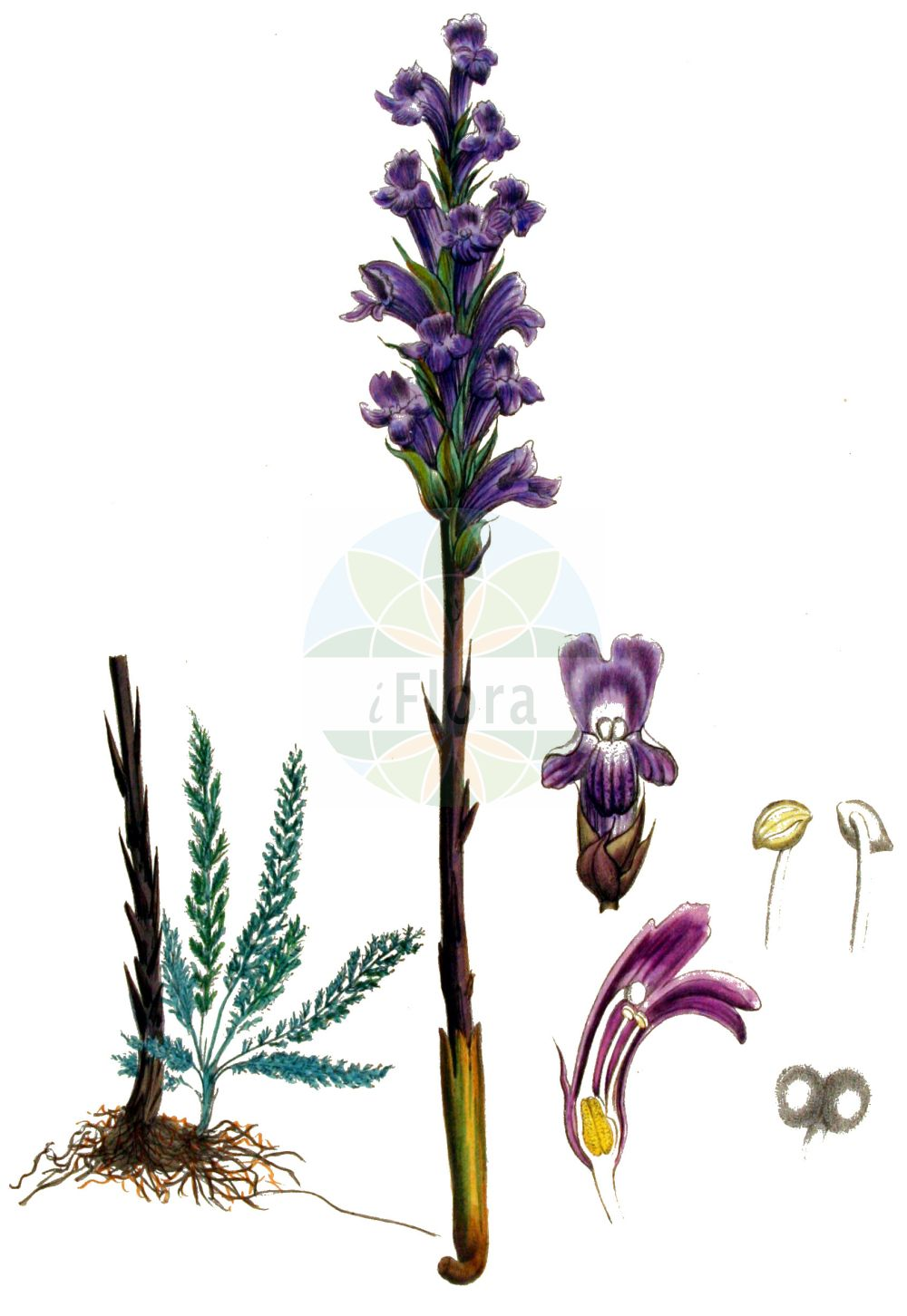 Historische Abbildung von Orobanche coerulescens (Blaeuliche Sommerwurz - Blue Broomrape). Das Bild zeigt Blatt, Bluete, Frucht und Same. ---- Historical Drawing of Orobanche coerulescens (Blaeuliche Sommerwurz - Blue Broomrape).The image is showing leaf, flower, fruit and seed.(Orobanche coerulescens,Blaeuliche Sommerwurz,Blue Broomrape,Orobanche coerulescens,Orobanche korshinskyi,Blaeuliche Sommerwurz,Blue Broomrape,Orobanche,Sommerwurz,Broomrape,Orobanchaceae,Sommerwurzgewaechse,Broomrape family,Blatt,Bluete,Frucht,Same,leaf,flower,fruit,seed,Kops (1800-1934))