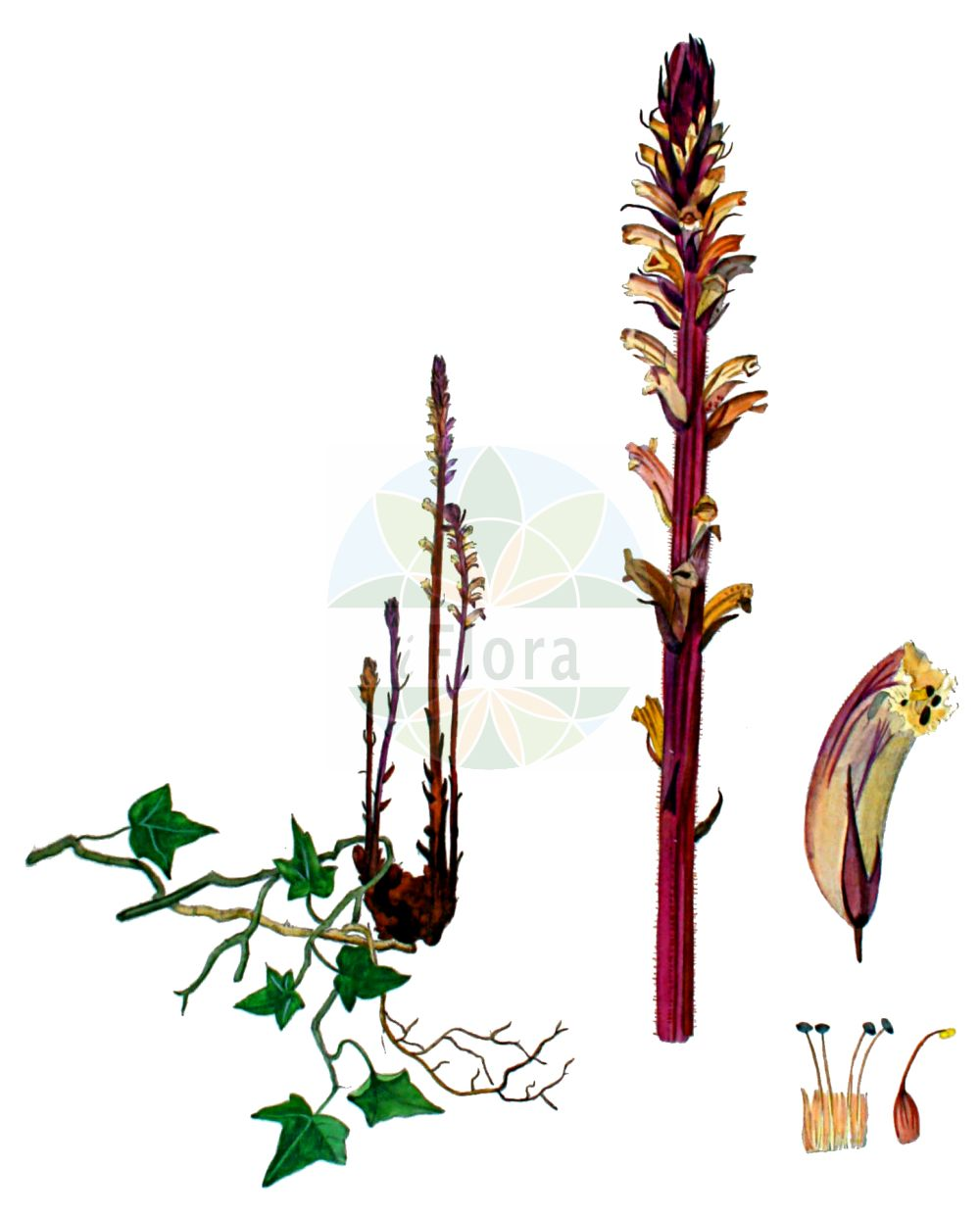 Historische Abbildung von Orobanche hederae (Efeu-Sommerwurz - Ivy Broomrape). Das Bild zeigt Blatt, Bluete, Frucht und Same. ---- Historical Drawing of Orobanche hederae (Efeu-Sommerwurz - Ivy Broomrape).The image is showing leaf, flower, fruit and seed.(Orobanche hederae,Efeu-Sommerwurz,Ivy Broomrape,Orobanche balearica,Orobanche glaberrima,Orobanche hederae,Orobanche laurina,Orobanche yuccae,Efeu-Sommerwurz,Ivy Broomrape,Orobanche,Sommerwurz,Broomrape,Orobanchaceae,Sommerwurzgewaechse,Broomrape family,Blatt,Bluete,Frucht,Same,leaf,flower,fruit,seed,Kops (1800-1934))