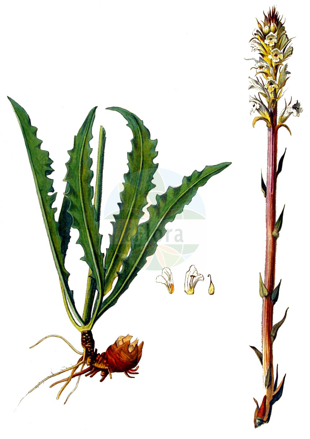 Historische Abbildung von Orobanche picridis (Panzer-Sommerwurz - Oxtongue Broomrape). Das Bild zeigt Blatt, Bluete, Frucht und Same. ---- Historical Drawing of Orobanche picridis (Panzer-Sommerwurz - Oxtongue Broomrape).The image is showing leaf, flower, fruit and seed.(Orobanche picridis,Panzer-Sommerwurz,Oxtongue Broomrape,Orobanche ambigua,Orobanche artemisiae,Orobanche artemisiae-campestris,Orobanche carotae,Orobanche centaurina,Orobanche hieracii-pilosellae,Orobanche lilacina,Orobanche loricata,Orobanche picridis,Orobanche picridis-hieracioidis,Orobanche santolinae,Orobanche scolymi,Panzer-Sommerwurz,Oxtongue Broomrape,Mugwort Broomrape,Orobanche,Sommerwurz,Broomrape,Orobanchaceae,Sommerwurzgewaechse,Broomrape family,Blatt,Bluete,Frucht,Same,leaf,flower,fruit,seed,Kops (1800-1934))