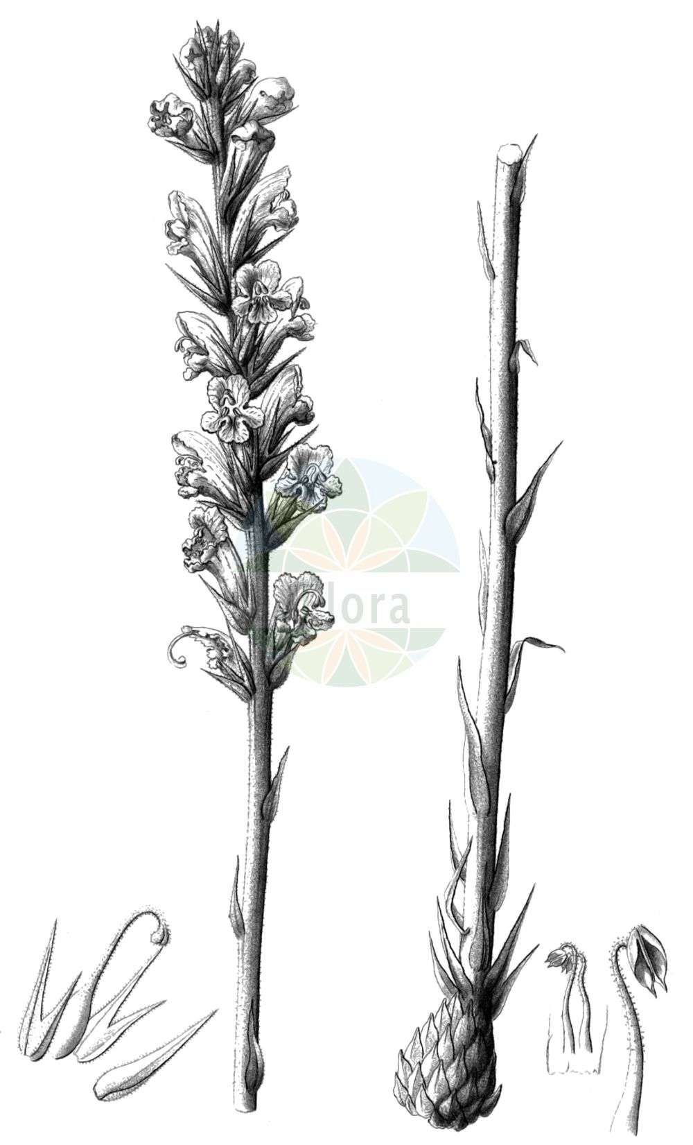 Historische Abbildung von Orobanche rapum-genistae (Ginster-Sommerwurz - Greater Broomrape). Das Bild zeigt Blatt, Bluete, Frucht und Same. ---- Historical Drawing of Orobanche rapum-genistae (Ginster-Sommerwurz - Greater Broomrape).The image is showing leaf, flower, fruit and seed.(Orobanche rapum-genistae,Ginster-Sommerwurz,Greater Broomrape,Orobanche benthamii,Orobanche bracteata,Orobanche insolita,Orobanche major,Orobanche rapum,Orobanche rapum-genistae,Orobanche rapum-genistae subsp. benthamii,Ginster-Sommerwurz,Greater Broomrape,Orobanche,Sommerwurz,Broomrape,Orobanchaceae,Sommerwurzgewaechse,Broomrape family,Blatt,Bluete,Frucht,Same,leaf,flower,fruit,seed,Reichenbach (1823-1832))