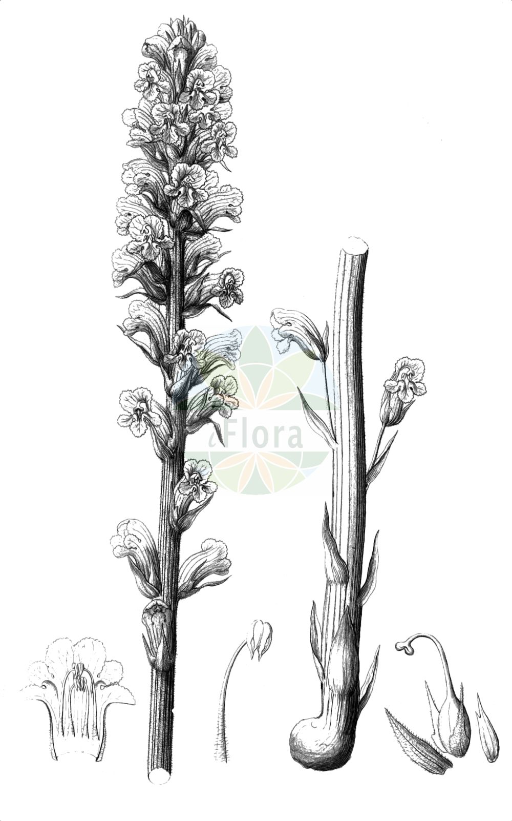 Historische Abbildung von Orobanche minor (Kleine Sommerwurz - Common Broomrape). Das Bild zeigt Blatt, Bluete, Frucht und Same. ---- Historical Drawing of Orobanche minor (Kleine Sommerwurz - Common Broomrape).The image is showing leaf, flower, fruit and seed.(Orobanche minor,Kleine Sommerwurz,Common Broomrape,Orobanche bovei,Orobanche concolor,Orobanche crithmi,Orobanche crithmi-maritimi,Orobanche euglossa,Orobanche grisebachii,Orobanche hyalina,Orobanche livida,Orobanche minor,Orobanche nudiflora,Orobanche palaestina,Orobanche pumila,Orobanche pyrrha,Orobanche salisii,Orobanche unicolor,Kleine Sommerwurz,Kleeteufel,Kleewuerger,Common Broomrape,Clover Broomrape,Hellroot,Lesser Broomrape,Small Broomrape,Orobanche,Sommerwurz,Broomrape,Orobanchaceae,Sommerwurzgewaechse,Broomrape family,Blatt,Bluete,Frucht,Same,leaf,flower,fruit,seed,Reichenbach (1823-1832))