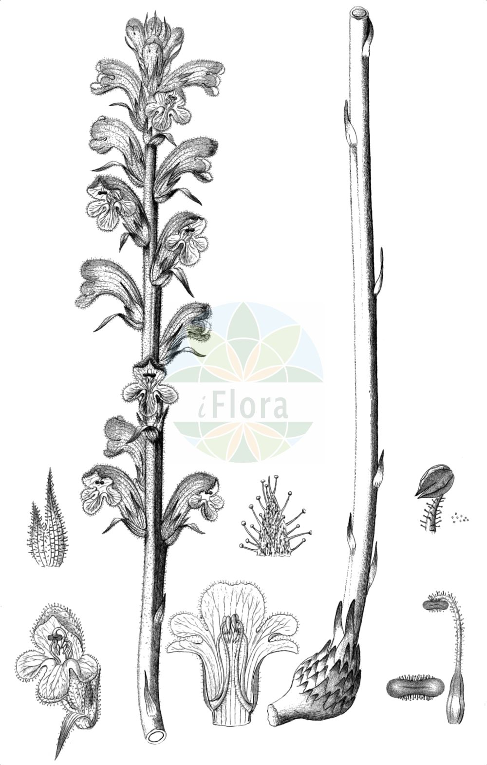 Historische Abbildung von Orobanche caryophyllacea (Nelken-Sommerwurz - Bedstraw Broomrape). Das Bild zeigt Blatt, Bluete, Frucht und Same. ---- Historical Drawing of Orobanche caryophyllacea (Nelken-Sommerwurz - Bedstraw Broomrape).The image is showing leaf, flower, fruit and seed.(Orobanche caryophyllacea,Nelken-Sommerwurz,Bedstraw Broomrape,Orobanche buhsei,Orobanche caryophyllacea,Orobanche clausonis,Orobanche galii,Orobanche hesperina,Orobanche vulgaris,Nelken-Sommerwurz,Gemeine Sommerwurz,Bedstraw Broomrape,Clove-scented Broomrape,Orobanche,Sommerwurz,Broomrape,Orobanchaceae,Sommerwurzgewaechse,Broomrape family,Blatt,Bluete,Frucht,Same,leaf,flower,fruit,seed,Reichenbach (1823-1832))