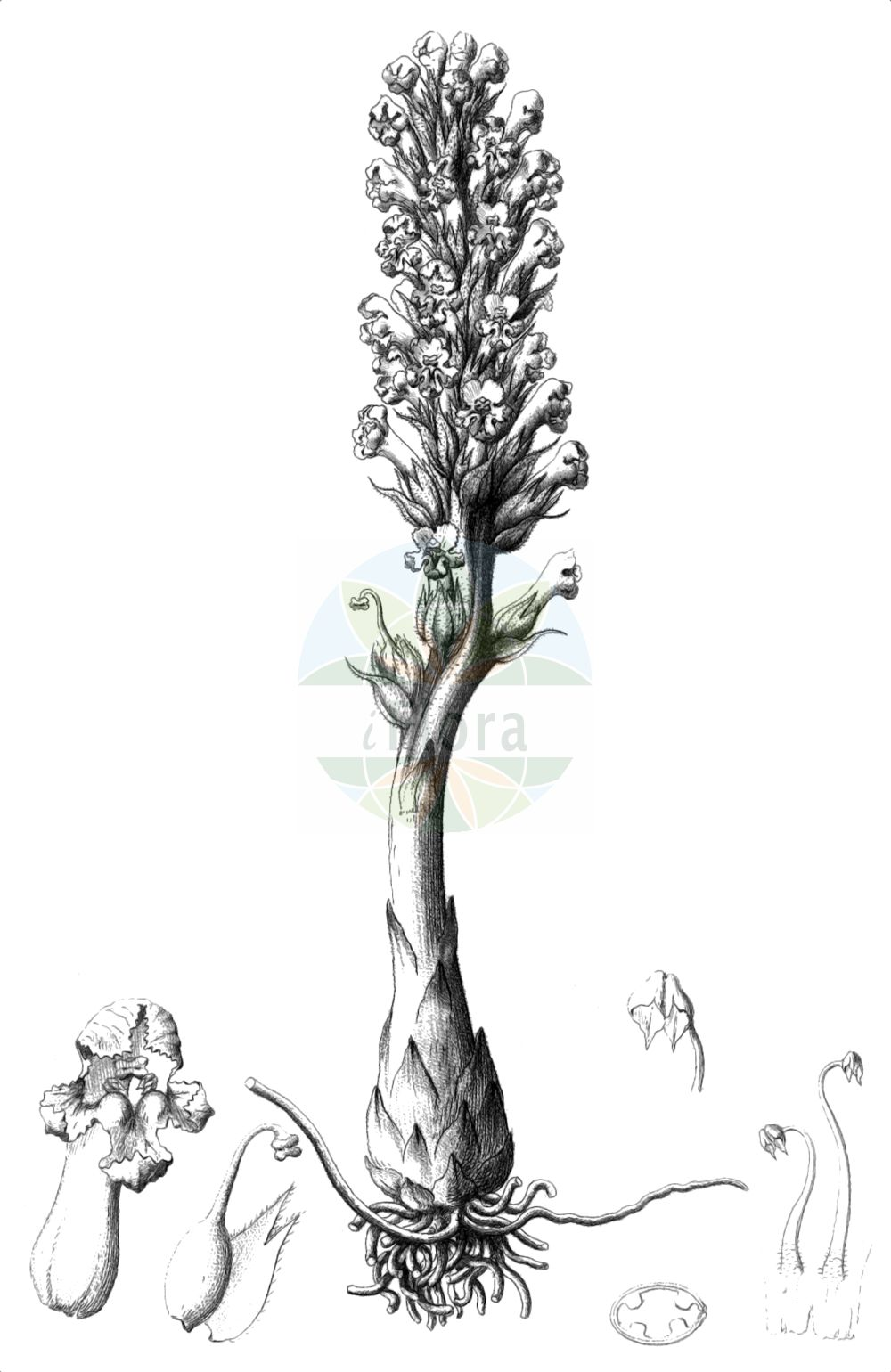 Historische Abbildung von Orobanche coerulescens (Blaeuliche Sommerwurz - Blue Broomrape). Das Bild zeigt Blatt, Bluete, Frucht und Same. ---- Historical Drawing of Orobanche coerulescens (Blaeuliche Sommerwurz - Blue Broomrape).The image is showing leaf, flower, fruit and seed.(Orobanche coerulescens,Blaeuliche Sommerwurz,Blue Broomrape,Orobanche coerulescens,Orobanche korshinskyi,Blaeuliche Sommerwurz,Blue Broomrape,Orobanche,Sommerwurz,Broomrape,Orobanchaceae,Sommerwurzgewaechse,Broomrape family,Blatt,Bluete,Frucht,Same,leaf,flower,fruit,seed,Reichenbach (1823-1832))