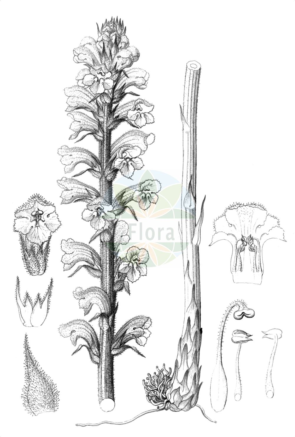 Historische Abbildung von Orobanche elatior (Grosse Sommerwurz - Knapweed Broomrape). Das Bild zeigt Blatt, Bluete, Frucht und Same. ---- Historical Drawing of Orobanche elatior (Grosse Sommerwurz - Knapweed Broomrape).The image is showing leaf, flower, fruit and seed.(Orobanche elatior,Grosse Sommerwurz,Knapweed Broomrape,Orobanche echinopis,Orobanche elatior,Orobanche icterica,Orobanche loscosii,Orobanche ritro,Grosse Sommerwurz,Knapweed Broomrape,Tall Broomrape,Orobanche,Sommerwurz,Broomrape,Orobanchaceae,Sommerwurzgewaechse,Broomrape family,Blatt,Bluete,Frucht,Same,leaf,flower,fruit,seed,Reichenbach (1823-1832))