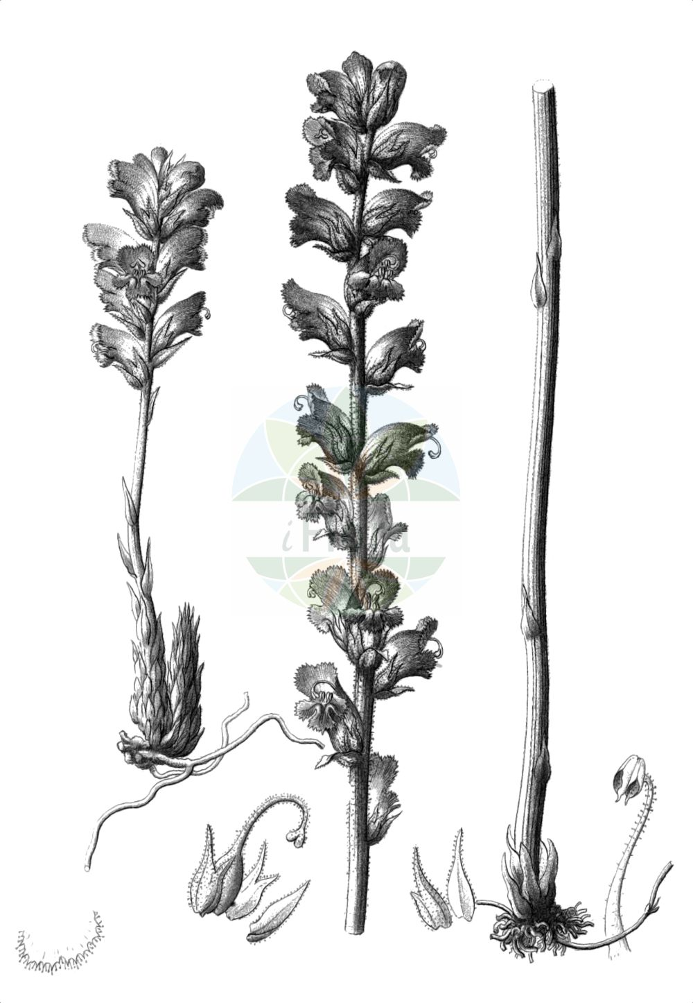 Historische Abbildung von Orobanche gracilis (Blutrote Sommerwurz - Slender Broomrape). Das Bild zeigt Blatt, Bluete, Frucht und Same. ---- Historical Drawing of Orobanche gracilis (Blutrote Sommerwurz - Slender Broomrape).The image is showing leaf, flower, fruit and seed.(Orobanche gracilis,Blutrote Sommerwurz,Slender Broomrape,Orobanche austrohispanica,Orobanche breviflora,Orobanche cruenta,Orobanche gracilis,Orobanche grandiuscula,Orobanche spruneri,Orobanche tetuanensis,Orobanche todaroi,Blutrote Sommerwurz,Zierliche Sommerwurz,Slender Broomrape,Orobanche,Sommerwurz,Broomrape,Orobanchaceae,Sommerwurzgewaechse,Broomrape family,Blatt,Bluete,Frucht,Same,leaf,flower,fruit,seed,Reichenbach (1823-1832))