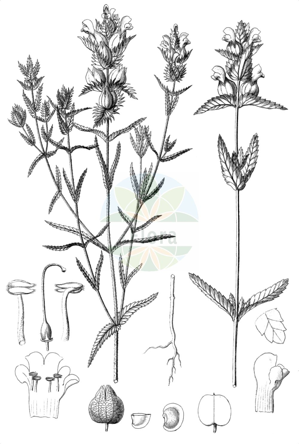 Historische Abbildung von Rhinanthus minor (Kleiner Klappertopf - Yellow-rattle). Das Bild zeigt Blatt, Bluete, Frucht und Same. ---- Historical Drawing of Rhinanthus minor (Kleiner Klappertopf - Yellow-rattle).The image is showing leaf, flower, fruit and seed.(Rhinanthus minor,Kleiner Klappertopf,Yellow-rattle,Alectorolophus borealis,Alectorolophus crista-galli,Alectorolophus drummond-hayi,Alectorolophus minor,Alectorolophus monticola,Alectorolophus parviflorus,Alectorolophus rusticulus,Alectorolophus stenophyllus,Rhinanthus balticus,Rhinanthus borealis,Rhinanthus crista-galli L. var.,Rhinanthus hercynicus,Rhinanthus minor,Rhinanthus minor L. subsp.,Rhinanthus minor L. var.,Rhinanthus nigricans,Rhinanthus rusticulus,Rhinanthus stenophyllus,Kleiner Klappertopf,Yellow-rattle,Cockscomb Rattleweed,Little Yellow Rattle,Lesser Yellow Rattle,Rhinanthus,Klappertopf,Yellow Rattle,Orobanchaceae,Sommerwurzgewaechse,Broomrape family,Blatt,Bluete,Frucht,Same,leaf,flower,fruit,seed,Reichenbach (1823-1832))