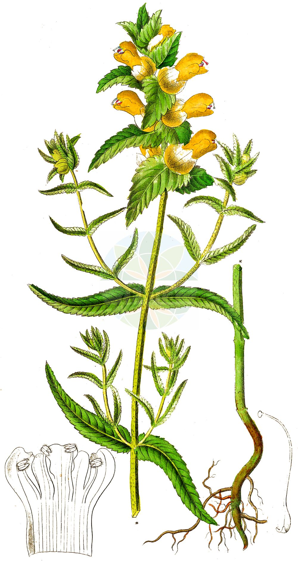 Historische Abbildung von Rhinanthus angustifolius (Acker-Klappertopf - Late-flowering Yellow Rattle). Das Bild zeigt Blatt, Bluete, Frucht und Same. ---- Historical Drawing of Rhinanthus angustifolius (Acker-Klappertopf - Late-flowering Yellow Rattle).The image is showing leaf, flower, fruit and seed.(Rhinanthus angustifolius,Acker-Klappertopf,Late-flowering Yellow Rattle,Alectorolophus angustifolius,Alectorolophus glaber,Alectorolophus major,Alectorolophus major Rchb. subsp.,Alectorolophus serotinus,Rhinanthus angustifolius,Rhinanthus glaber,Rhinanthus paludosus,Rhinanthus serotinus,Rhinanthus serotinus subsp. polycladus,Acker-Klappertopf,Grosser Klappertopf,Late-flowering Yellow Rattle,Greater Yellow Rattle,Narrow-leaved Yellow Rattle,Southern Yellow Rattle,Rhinanthus,Klappertopf,Yellow Rattle,Orobanchaceae,Sommerwurzgewaechse,Broomrape family,Blatt,Bluete,Frucht,Same,leaf,flower,fruit,seed,Dietrich (1833-1844))