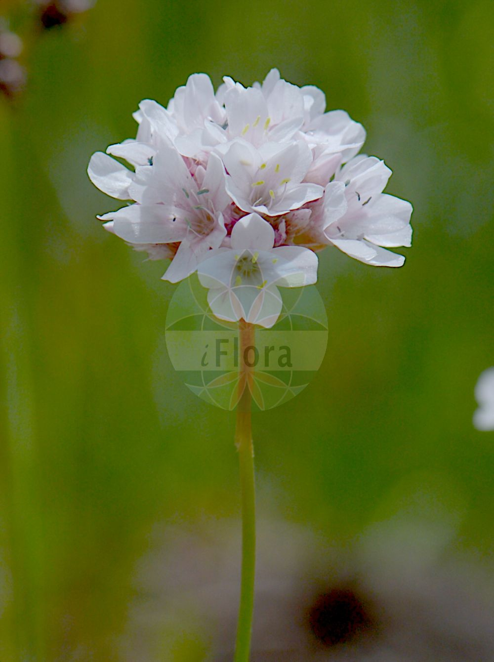 Foto von Armeria alpina subsp. alpina. Das Bild zeigt Bluete. Das Foto wurde in Monte Bondeone, Provincia Autonoma di Trento, Italien, Alpen aufgenommen. ---- Photo of Armeria alpina subsp. alpina.The image is showing flower.The picture was taken in Monte Bondeone, Provincia Autonoma di Trento, Italy, Alps. (Armeria alpina subsp. alpina,Armeria,Grasnelke,Thrift,Plumbaginaceae,Bleiwurzgewaechse,Leadwort family,Bluete,flower)