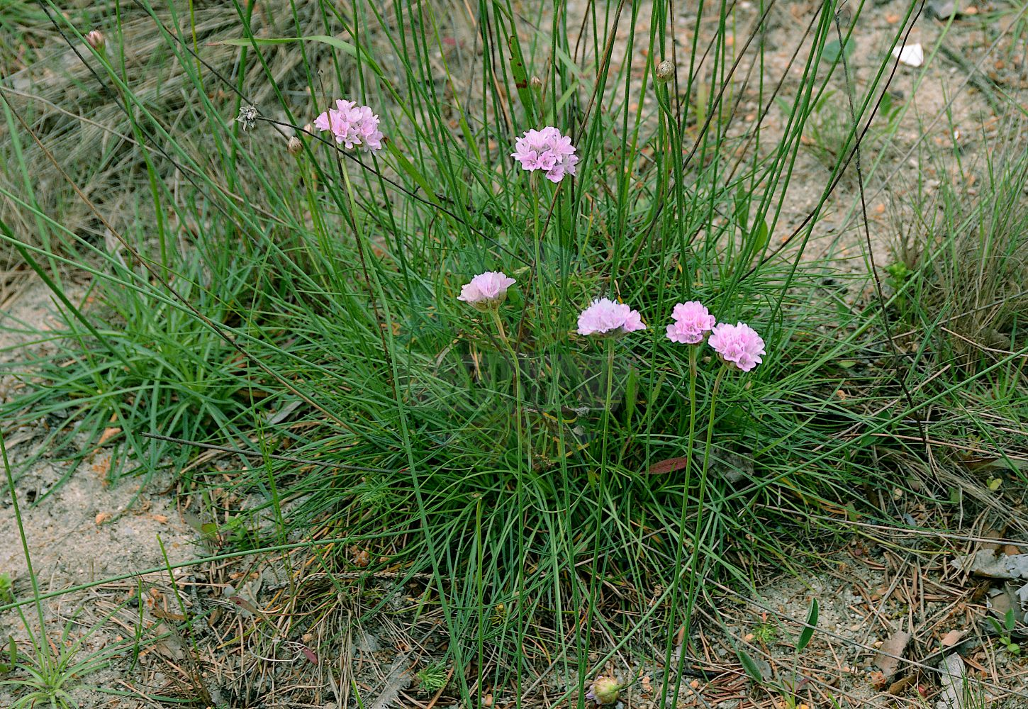 Foto von Armeria maritima (Gewoehnliche Grasnelke - Thrift). Das Foto wurde in Berlin, Deutschland aufgenommen. ---- Photo of Armeria maritima (Gewoehnliche Grasnelke - Thrift).The picture was taken in Berlin, Germany. (Armeria maritima,Gewoehnliche Grasnelke,Thrift,Statice armeria,Statice maritima,Statice vulgaris,Alpen-Grasnelke,Bottendorfer Galmei-Grasnelke,Echte Grasnelke,Hallers Grasnelke,Sand-Grasnelke,Seapink,Sea Pink,Armeria,Grasnelke,Thrift,Plumbaginaceae,Bleiwurzgewaechse,Leadwort family)