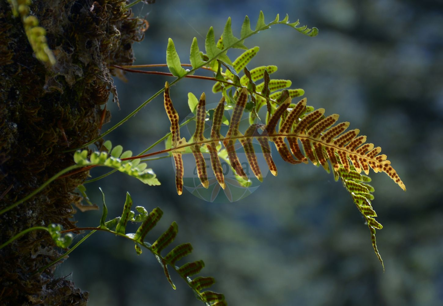 Foto von Polypodium vulgare (Gewoehnlicher Tuepfelfarn - Polypody). Das Bild zeigt Blatt und Spore. Das Foto wurde in Schachen, Garmisch-Partenkirchen, Bayern, Deutschland, Alpen aufgenommen. ---- Photo of Polypodium vulgare (Gewoehnlicher Tuepfelfarn - Polypody).The image is showing leaf and spore.The picture was taken in Schachen, Garmisch-Partenkirchen, Bavaria, Germany, Alps.(Polypodium vulgare,Gewoehnlicher Tuepfelfarn,Polypody,subsp. issaevii,Common ,Polypodium,Tuepfelfarn,Polypodies,Polypodiaceae,Tuepfelfarngewaechse,Polypody family,Blatt,Spore,leaf,spore)