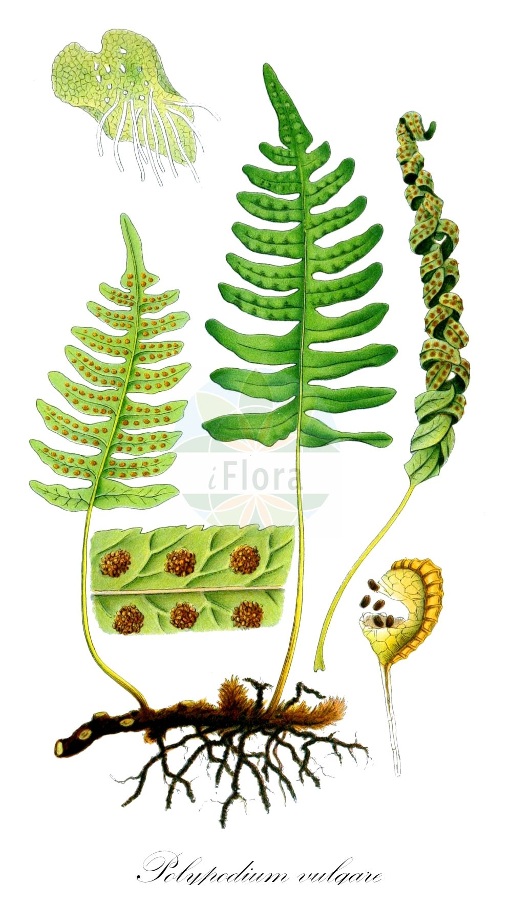 Historische Abbildung von Polypodium vulgare (Gewoehnlicher Tuepfelfarn - Polypody). Das Bild zeigt Blatt, Bluete, Frucht und Same. ---- Historical Drawing of Polypodium vulgare (Gewoehnlicher Tuepfelfarn - Polypody).The image is showing leaf, flower, fruit and seed.(Polypodium vulgare,Gewoehnlicher Tuepfelfarn,Polypody,subsp. issaevii,Common ,Polypodium,Tuepfelfarn,Polypodies,Polypodiaceae,Tuepfelfarngewaechse,Polypody family,Blatt,Bluete,Frucht,Same,leaf,flower,fruit,seed,Lindman (1901-1905))