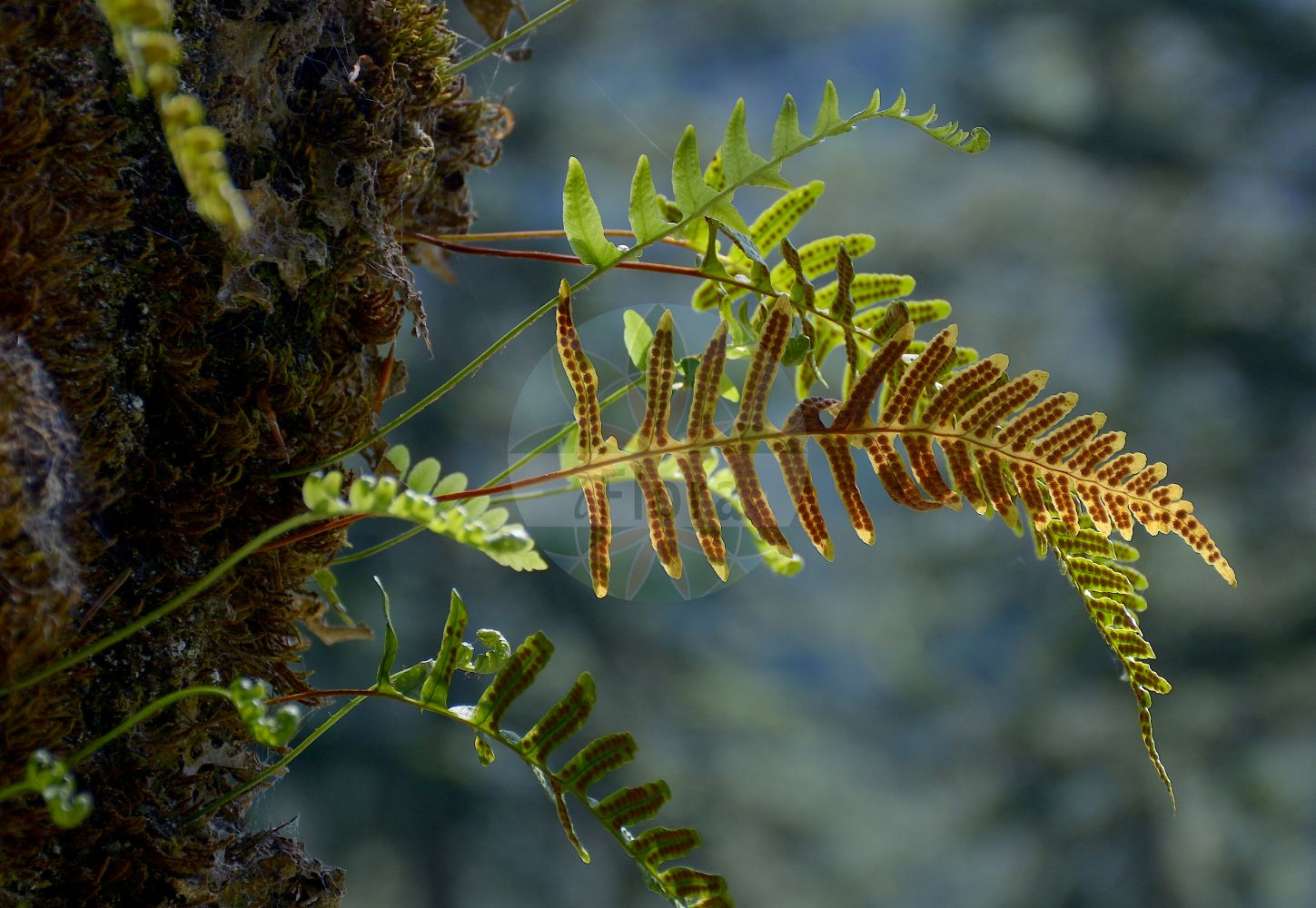 Foto von Polypodium vulgare (Gewoehnlicher Tuepfelfarn - Polypody). Das Foto wurde in Schachen, Garmisch-Partenkirchen, Bayern, Deutschland, Alpen aufgenommen. ---- Photo of Polypodium vulgare (Gewoehnlicher Tuepfelfarn - Polypody).The picture was taken in Schachen, Garmisch-Partenkirchen, Bavaria, Germany, Alps.(Polypodium vulgare,Gewoehnlicher Tuepfelfarn,Polypody,subsp. issaevii,Common ,Polypodium,Tuepfelfarn,Polypodies,Polypodiaceae,Tuepfelfarngewaechse,Polypody family)