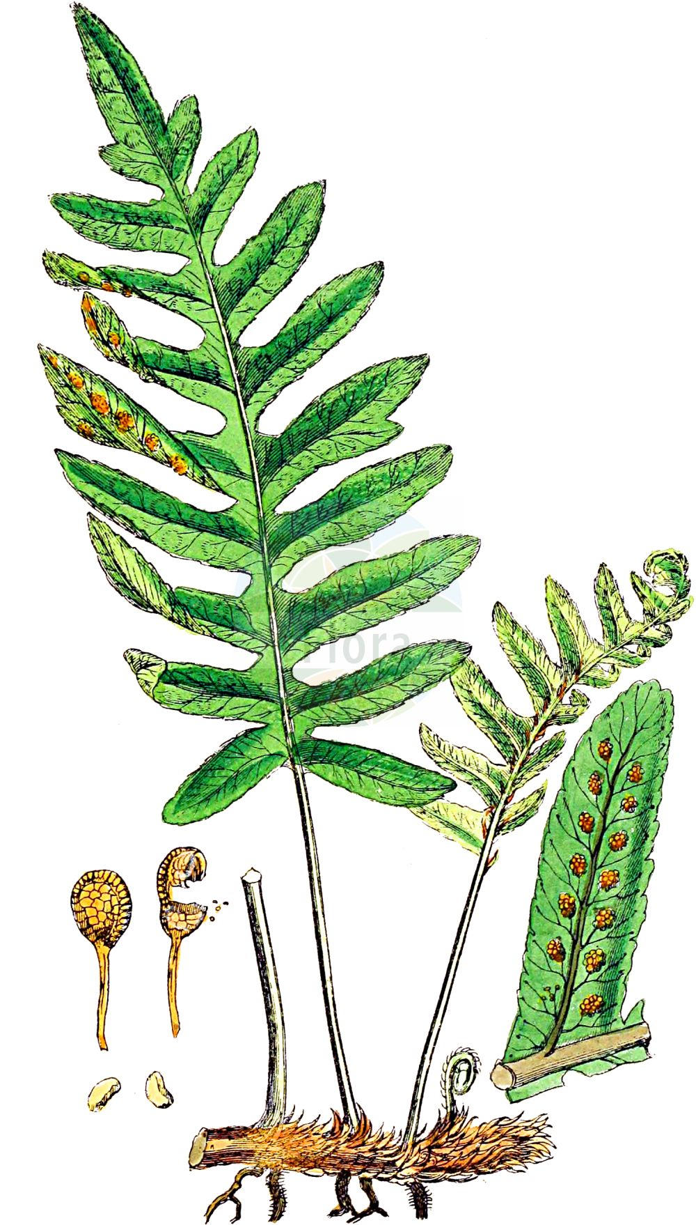 Historische Abbildung von Polypodium vulgare agg. (Tuepfelfarn - Polypodies). Das Bild zeigt Blatt, Bluete, Frucht und Same. ---- Historical Drawing of Polypodium vulgare agg. (Tuepfelfarn - Polypodies).The image is showing leaf, flower, fruit and seed.(Polypodium vulgare agg.,Tuepfelfarn,Polypodies,Tuepfelfarn,Tuepfelfarn,Engelsuess,Gewoehnlicher Tuepfelfarn,Mantons Tuepfelfarn,Polypodies,Common Polypody,Adder's Fern,Polypody,Wall Fern,Polypodium,Tuepfelfarn,Polypodies,Polypodiaceae,Tuepfelfarngewaechse,Polypody family,Blatt,Bluete,Frucht,Same,leaf,flower,fruit,seed,Sowerby (1790-1813))