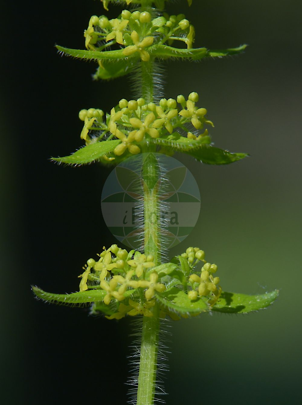 Foto von Cruciata laevipes (Gewoehnliches Kreuzlabkraut - Crosswort). Das Bild zeigt Blatt und Bluete. Das Foto wurde in Wohlmuthausen, Schmalkalden-Meiningen, Thueringen, Deutschland, Suedthueringisches-Oberfraenkisches Trias-Huegelland aufgenommen. ---- Photo of Cruciata laevipes (Gewoehnliches Kreuzlabkraut - Crosswort).The image is showing leaf and flower.The picture was taken in Wohlmuthausen, Schmalkalden-Meiningen, Thuringia, Germany, Suedthueringisches-Oberfraenkisches Trias-Huegelland.(Cruciata laevipes,Gewoehnliches Kreuzlabkraut,Crosswort,Cruciata ciliata,Galium cruciata,Valantia cruciata,Smooth Bedstraw,Cruciata,Kreuzlabkraut,Bedstraw,Rubiaceae,Roetegewaechse;Kaffeegewaechse;Krappgewaechse;Labkrautgewaechse,Bedstraw family,Blatt,Bluete,leaf,flower)