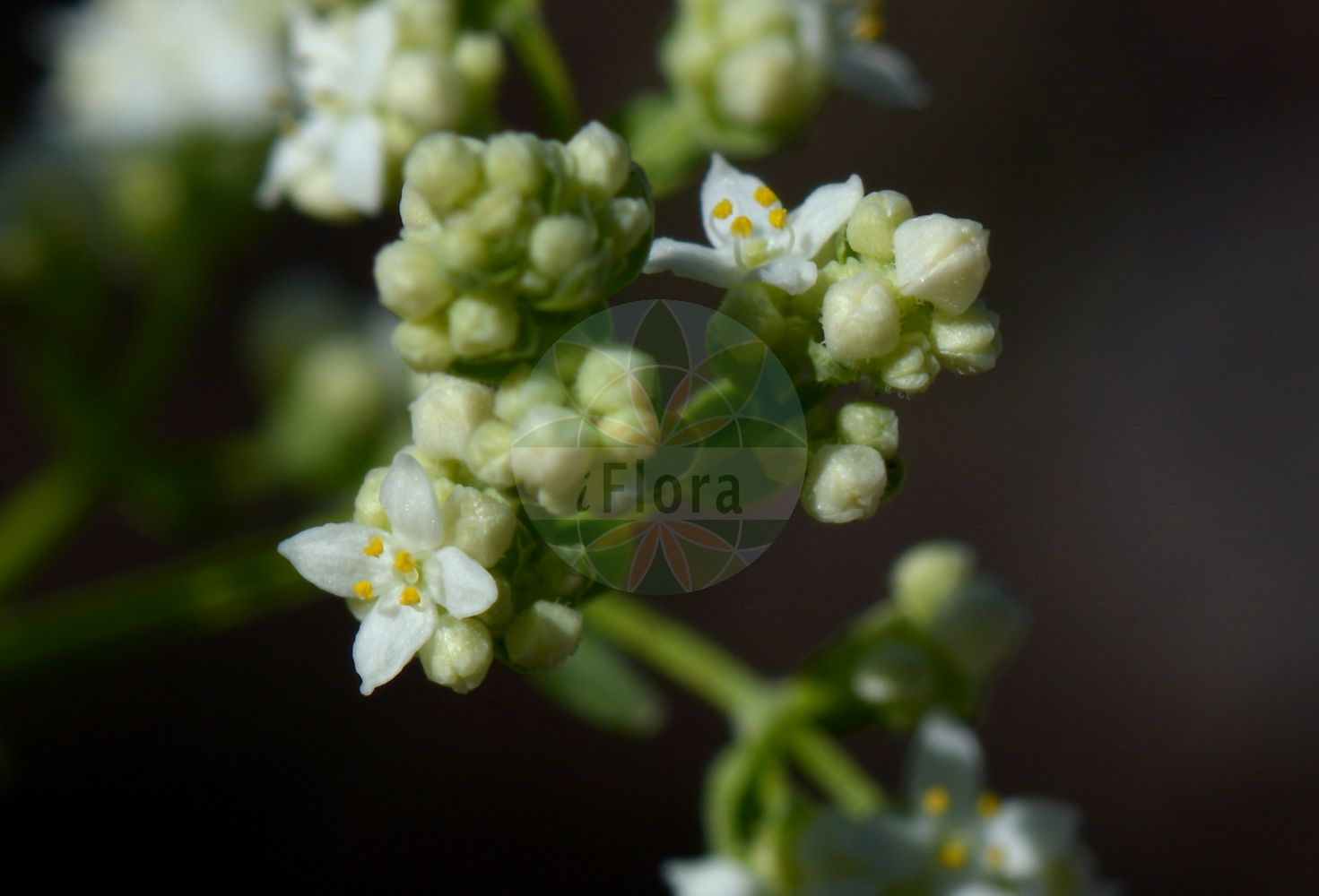 Foto von Galium boreale (Nordisches Labkraut - Northern Bedstraw). Das Bild zeigt Blatt und Bluete. Das Foto wurde in Kopenhagen, Daenemark aufgenommen. ---- Photo of Galium boreale (Nordisches Labkraut - Northern Bedstraw).The image is showing leaf and flower.The picture was taken in Copenhagen, Denmark.(Galium boreale,Nordisches Labkraut,Northern Bedstraw,Galium hyssopifolium,Galium septentrionale,Cross-leaved Bedstraw,Galium,Labkraut,Bedstraw,Rubiaceae,Roetegewaechse;Kaffeegewaechse;Krappgewaechse;Labkrautgewaechse,Bedstraw family,Blatt,Bluete,leaf,flower)