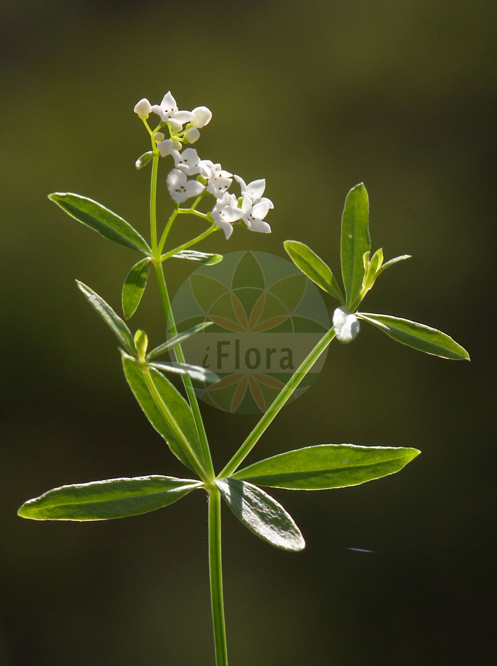 Foto von Galium elongatum (Hohes Labkraut - Great Marsh Bedstraw). Das Bild zeigt Blatt und Bluete. Das Foto wurde in Breiden, Roedermark, Offenbach, Hessen, Deutschland, Oberrheinisches Tiefland und Rhein-Main-Ebene aufgenommen. ---- Photo of Galium elongatum (Hohes Labkraut - Great Marsh Bedstraw).The image is showing leaf and flower.The picture was taken in Breiden, Roedermark, Offenbach, Hesse, Germany, Oberrheinisches Tiefland and Rhein-Main-Ebene.(Galium elongatum,Hohes Labkraut,Great Marsh Bedstraw,Galium maximum,Galium palustre subsp. elongatum,Galium,Labkraut,Bedstraw,Rubiaceae,Roetegewaechse;Kaffeegewaechse;Krappgewaechse;Labkrautgewaechse,Bedstraw family,Blatt,Bluete,leaf,flower)