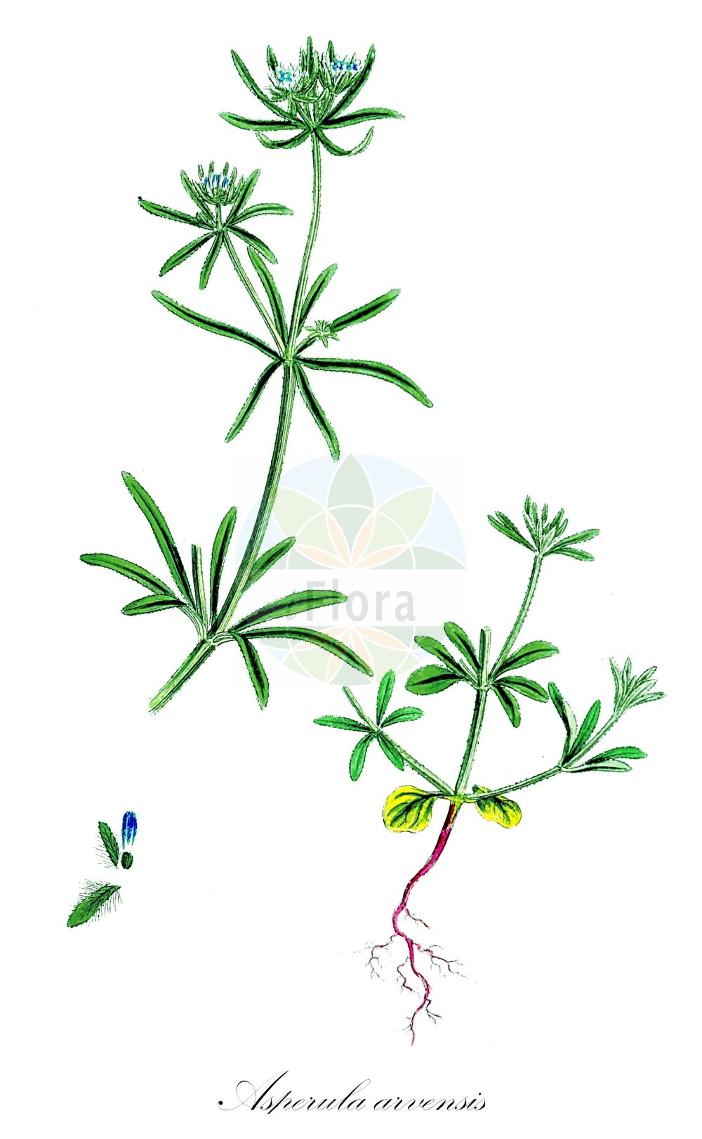 Historische Abbildung von Asperula arvensis (Acker-Meier - Blue Woodruff). Das Bild zeigt Blatt, Bluete, Frucht und Same. ---- Historical Drawing of Asperula arvensis (Acker-Meier - Blue Woodruff).The image is showing leaf, flower, fruit and seed.(Asperula arvensis,Acker-Meier,Blue Woodruff,Acker-Meister,Field Woodruff,Quincywort,Asperula,Meier,Woodruff,Rubiaceae,Roetegewaechse;Kaffeegewaechse;Krappgewaechse;Labkrautgewaechse,Bedstraw family,Blatt,Bluete,Frucht,Same,leaf,flower,fruit,seed,Sowerby (1790-1813))