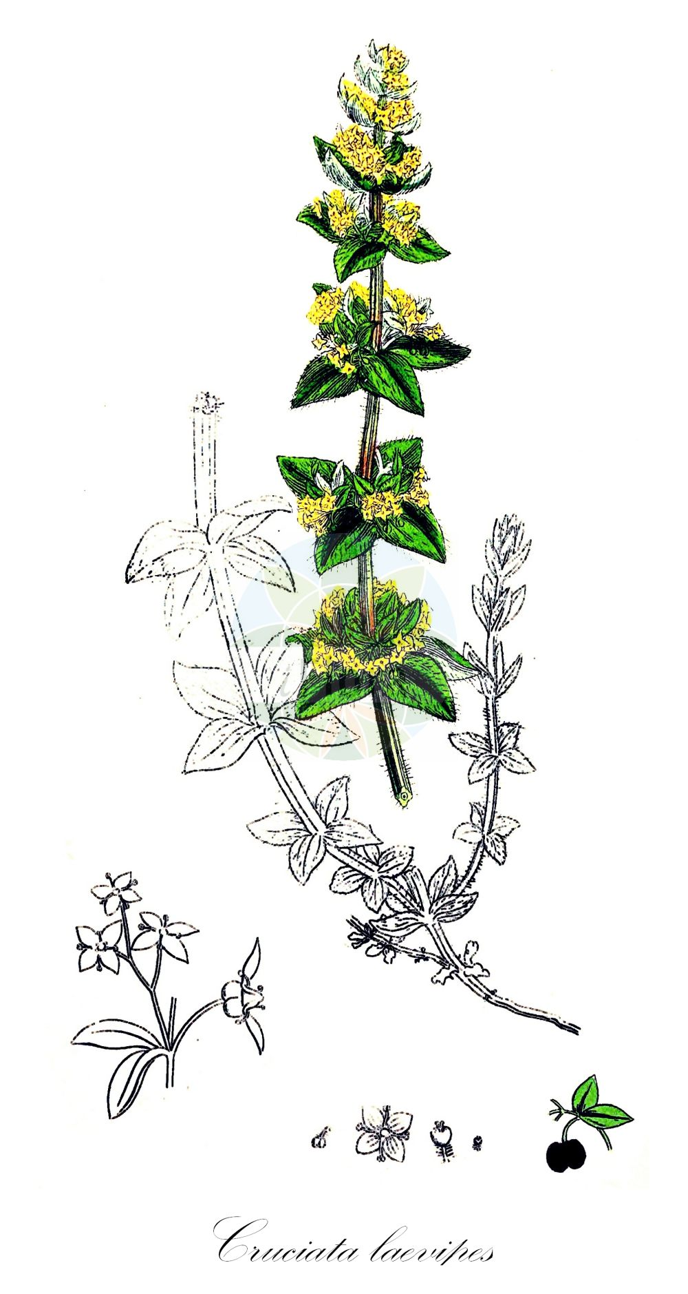 Historische Abbildung von Cruciata laevipes (Gewoehnliches Kreuzlabkraut - Crosswort). Das Bild zeigt Blatt, Bluete, Frucht und Same. ---- Historical Drawing of Cruciata laevipes (Gewoehnliches Kreuzlabkraut - Crosswort).The image is showing leaf, flower, fruit and seed.(Cruciata laevipes,Gewoehnliches Kreuzlabkraut,Crosswort,Cruciata ciliata,Galium cruciata,Valantia cruciata,Smooth Bedstraw,Cruciata,Kreuzlabkraut,Bedstraw,Rubiaceae,Roetegewaechse;Kaffeegewaechse;Krappgewaechse;Labkrautgewaechse,Bedstraw family,Blatt,Bluete,Frucht,Same,leaf,flower,fruit,seed,Sowerby (1790-1813))