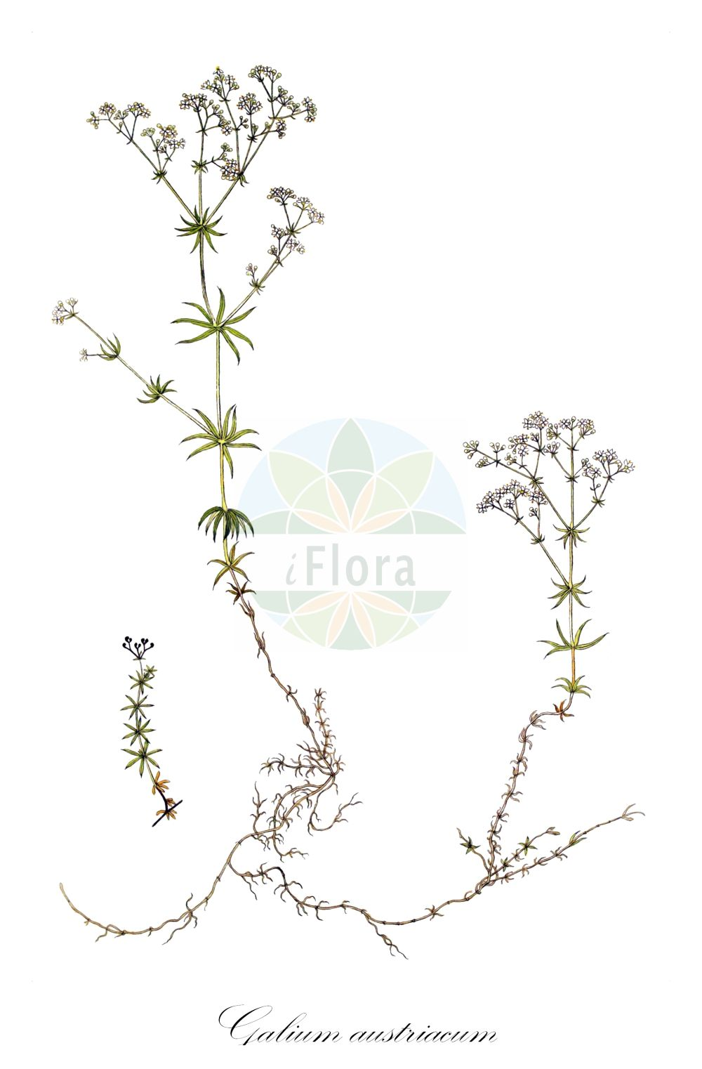 Historische Abbildung von Galium austriacum. Das Bild zeigt Blatt, Bluete, Frucht und Same. ---- Historical Drawing of Galium austriacum.The image is showing leaf, flower, fruit and seed.(Galium austriacum,Galium pumilum subsp. austriacum,Galium,Labkraut,Bedstraw,Rubiaceae,Roetegewaechse;Kaffeegewaechse;Krappgewaechse;Labkrautgewaechse,Bedstraw family,Blatt,Bluete,Frucht,Same,leaf,flower,fruit,seed,von Jacquin (1727-1817))