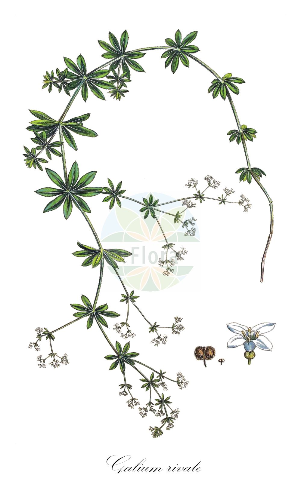Historische Abbildung von Galium rivale. Das Bild zeigt Blatt, Bluete, Frucht und Same. ---- Historical Drawing of Galium rivale.The image is showing leaf, flower, fruit and seed.(Galium rivale,Asperula aparine,Asperula rivalis,,Galium,Labkraut,Bedstraw,Rubiaceae,Roetegewaechse;Kaffeegewaechse;Krappgewaechse;Labkrautgewaechse,Bedstraw family,Blatt,Bluete,Frucht,Same,leaf,flower,fruit,seed,Sibthrop & Smith (1806-1840))