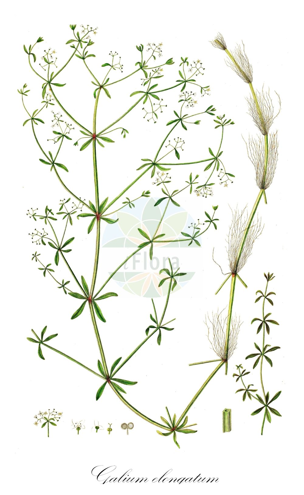 Historische Abbildung von Galium elongatum (Hohes Labkraut - Great Marsh Bedstraw). Das Bild zeigt Blatt, Bluete, Frucht und Same. ---- Historical Drawing of Galium elongatum (Hohes Labkraut - Great Marsh Bedstraw).The image is showing leaf, flower, fruit and seed.(Galium elongatum,Hohes Labkraut,Great Marsh Bedstraw,Galium maximum,Galium palustre subsp. elongatum,Galium,Labkraut,Bedstraw,Rubiaceae,Roetegewaechse;Kaffeegewaechse;Krappgewaechse;Labkrautgewaechse,Bedstraw family,Blatt,Bluete,Frucht,Same,leaf,flower,fruit,seed,Oeder (1761-1883))
