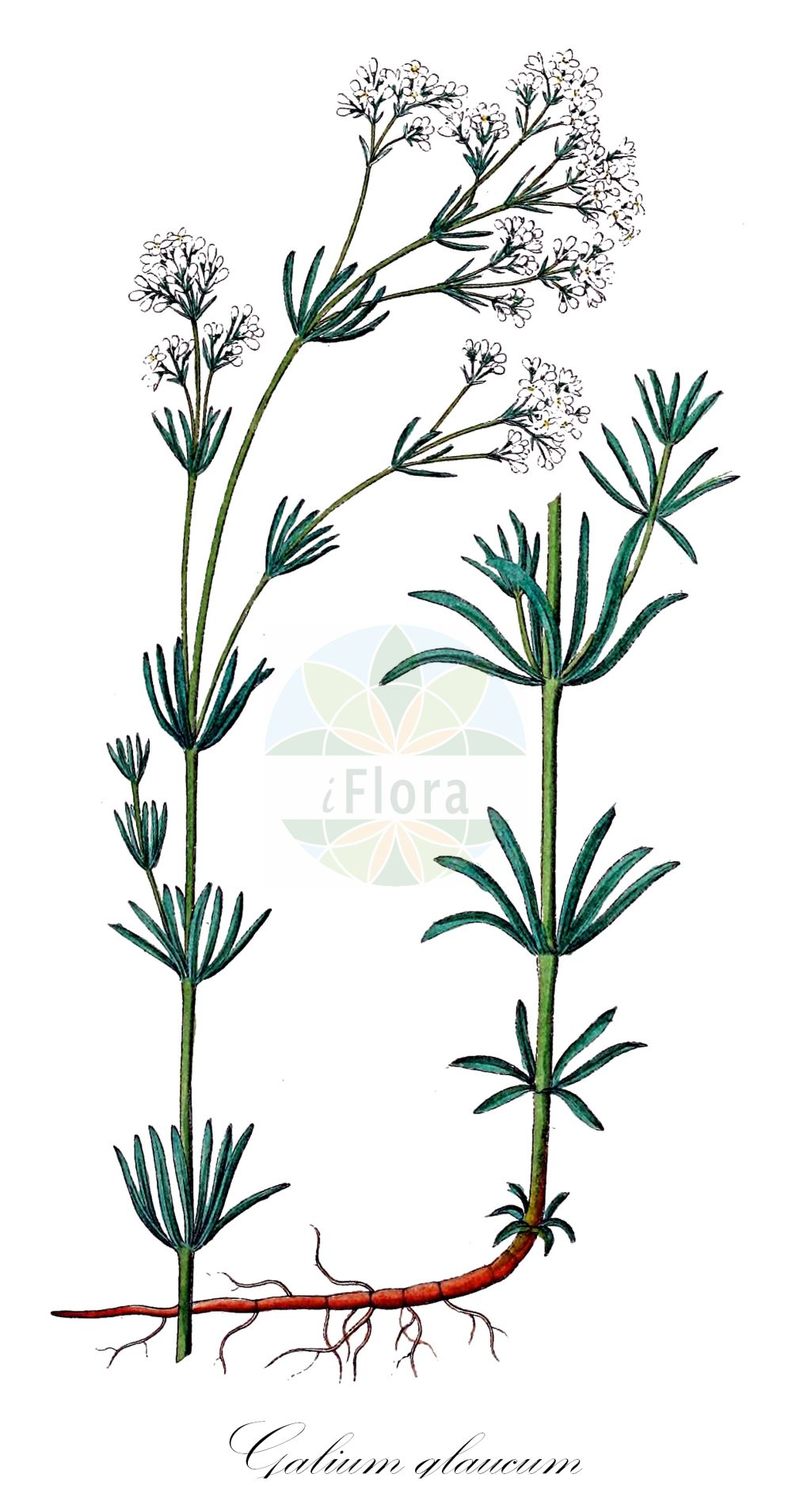 Historische Abbildung von Galium glaucum (Blaugruenes Labkraut - Glaucous Bedstraw). Das Bild zeigt Blatt, Bluete, Frucht und Same. ---- Historical Drawing of Galium glaucum (Blaugruenes Labkraut - Glaucous Bedstraw).The image is showing leaf, flower, fruit and seed.(Galium glaucum,Blaugruenes Labkraut,Glaucous Bedstraw,Asperula campanulata,Asperula galioides,Asperula glauca,Asperula glauca (L.) Besser,Galium campanulatum,subsp. tyracium,Waxy Bedstraw,Galium,Labkraut,Bedstraw,Rubiaceae,Roetegewaechse;Kaffeegewaechse;Krappgewaechse;Labkrautgewaechse,Bedstraw family,Blatt,Bluete,Frucht,Same,leaf,flower,fruit,seed,Dietrich (1833-1844))