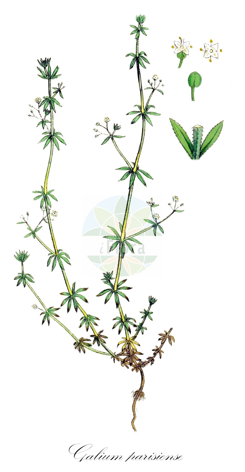 Historische Abbildung von Galium parisiense (Pariser Labkraut - Wall Bedstraw). Das Bild zeigt Blatt, Bluete, Frucht und Same. ---- Historical Drawing of Galium parisiense (Pariser Labkraut - Wall Bedstraw).The image is showing leaf, flower, fruit and seed.(Galium parisiense,Pariser Labkraut,Wall Bedstraw,Galium aparinella,Galium tenellum,Paris Bedstraw,Lamarck's Bedstraw,Slender Bedstraw,Galium,Labkraut,Bedstraw,Rubiaceae,Roetegewaechse;Kaffeegewaechse;Krappgewaechse;Labkrautgewaechse,Bedstraw family,Blatt,Bluete,Frucht,Same,leaf,flower,fruit,seed,Sowerby (1790-1813))