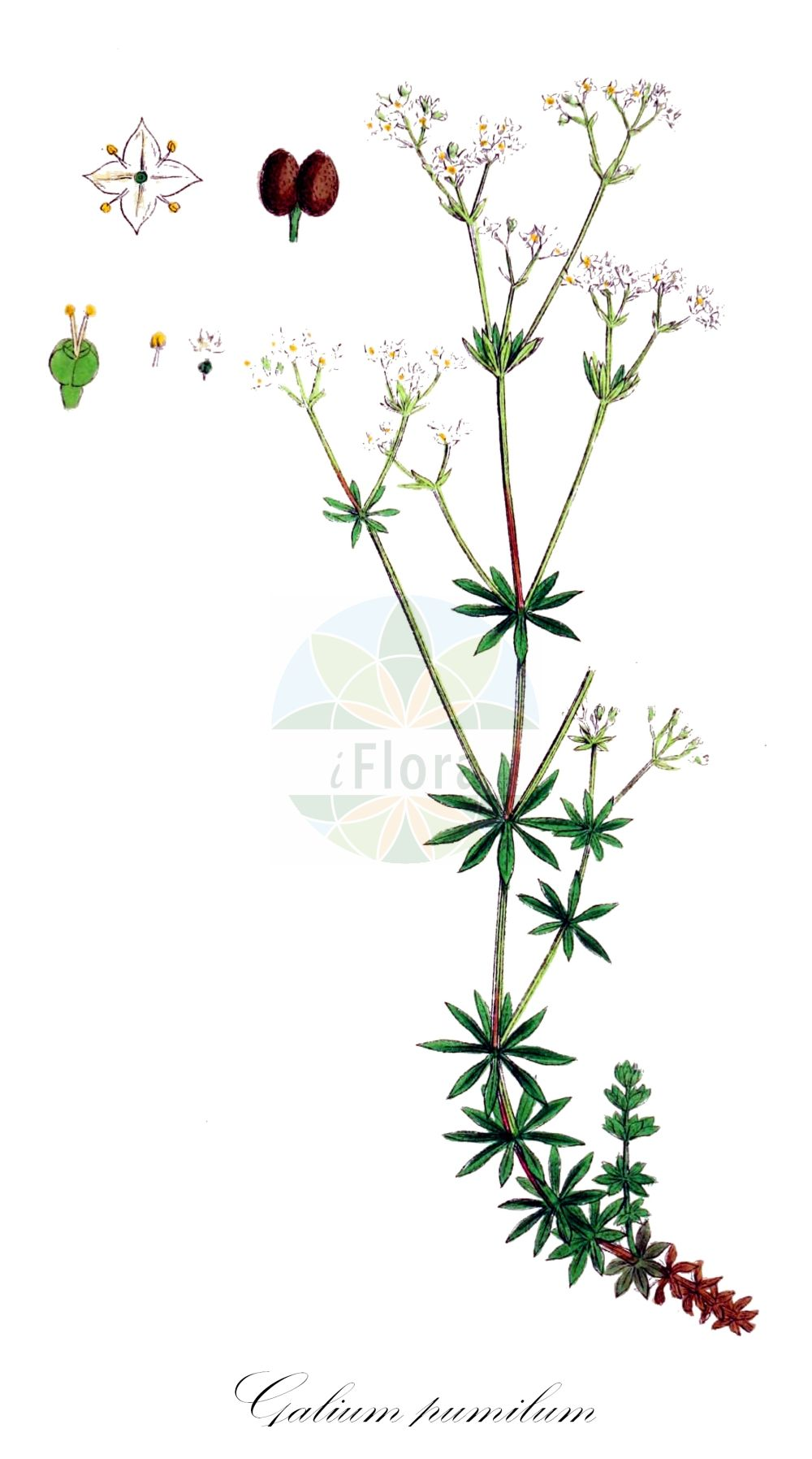 Historische Abbildung von Galium pumilum (Zierliches Labkraut - Slender Bedstraw). Das Bild zeigt Blatt, Bluete, Frucht und Same. ---- Historical Drawing of Galium pumilum (Zierliches Labkraut - Slender Bedstraw).The image is showing leaf, flower, fruit and seed.(Galium pumilum,Zierliches Labkraut,Slender Bedstraw,Galium asperum,Galium chlorophyllum,Galium laeve,Galium sylvestre,Heide-Labkraut,Galium,Labkraut,Bedstraw,Rubiaceae,Roetegewaechse;Kaffeegewaechse;Krappgewaechse;Labkrautgewaechse,Bedstraw family,Blatt,Bluete,Frucht,Same,leaf,flower,fruit,seed,Sowerby (1790-1813))
