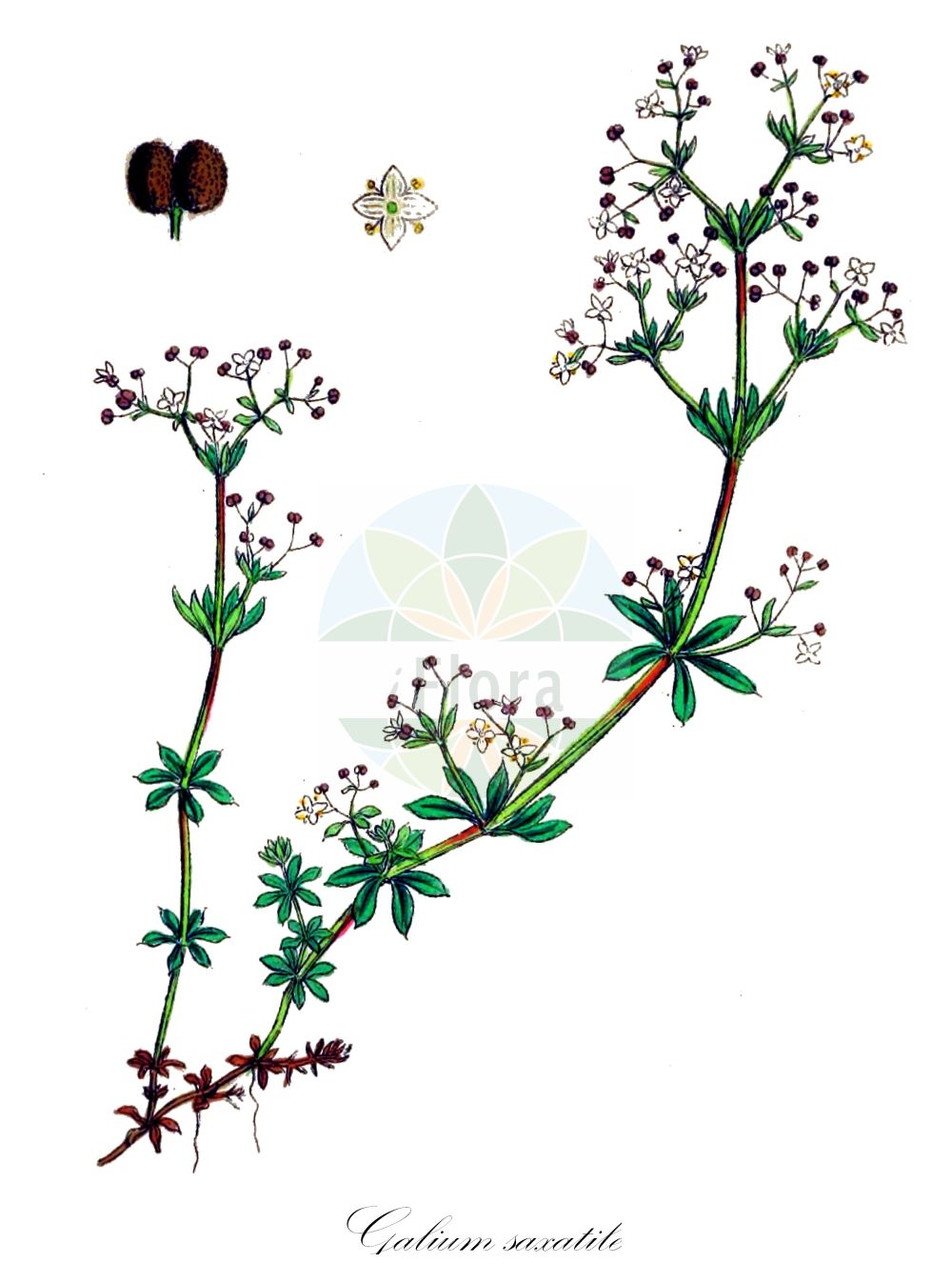 Historische Abbildung von Galium saxatile (Harzer Labkraut - Heath Bedstraw). Das Bild zeigt Blatt, Bluete, Frucht und Same. ---- Historical Drawing of Galium saxatile (Harzer Labkraut - Heath Bedstraw).The image is showing leaf, flower, fruit and seed.(Galium saxatile,Harzer Labkraut,Heath Bedstraw,Galium harcynicum,Galium pawlowskii,,Felsen-Labkraut,Galium,Labkraut,Bedstraw,Rubiaceae,Roetegewaechse;Kaffeegewaechse;Krappgewaechse;Labkrautgewaechse,Bedstraw family,Blatt,Bluete,Frucht,Same,leaf,flower,fruit,seed,Sowerby (1790-1813))