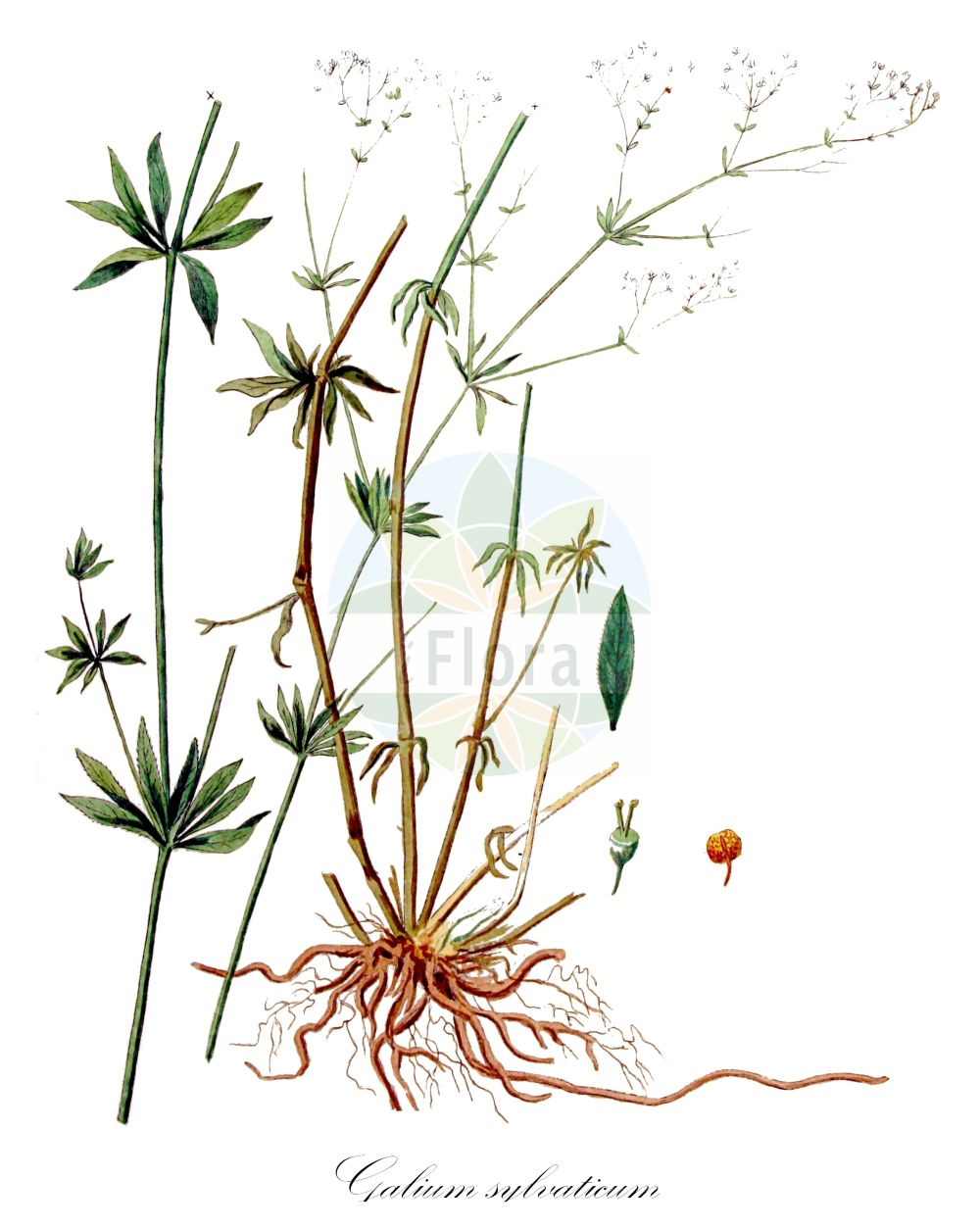 Historische Abbildung von Galium sylvaticum (Wald-Labkraut - Wood Bedstraw). Das Bild zeigt Blatt, Bluete, Frucht und Same. ---- Historical Drawing of Galium sylvaticum (Wald-Labkraut - Wood Bedstraw).The image is showing leaf, flower, fruit and seed.(Galium sylvaticum,Wald-Labkraut,Wood Bedstraw,Scotch Mist,Galium,Labkraut,Bedstraw,Rubiaceae,Roetegewaechse;Kaffeegewaechse;Krappgewaechse;Labkrautgewaechse,Bedstraw family,Blatt,Bluete,Frucht,Same,leaf,flower,fruit,seed,Kops (1800-1934))