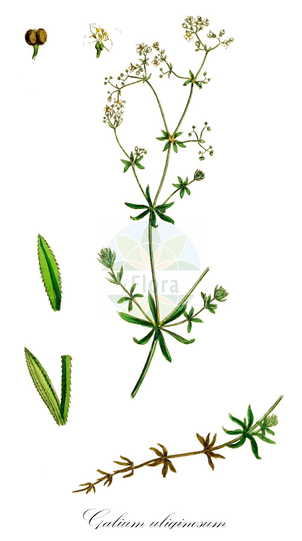 Historische Abbildung von Galium uliginosum (Moor-Labkraut - Fen Bedstraw). Das Bild zeigt Blatt, Bluete, Frucht und Same. ---- Historical Drawing of Galium uliginosum (Moor-Labkraut - Fen Bedstraw).The image is showing leaf, flower, fruit and seed.(Galium uliginosum,Moor-Labkraut,Fen Bedstraw,L. subsp.,Galium,Labkraut,Bedstraw,Rubiaceae,Roetegewaechse;Kaffeegewaechse;Krappgewaechse;Labkrautgewaechse,Bedstraw family,Blatt,Bluete,Frucht,Same,leaf,flower,fruit,seed,Sowerby (1790-1813))