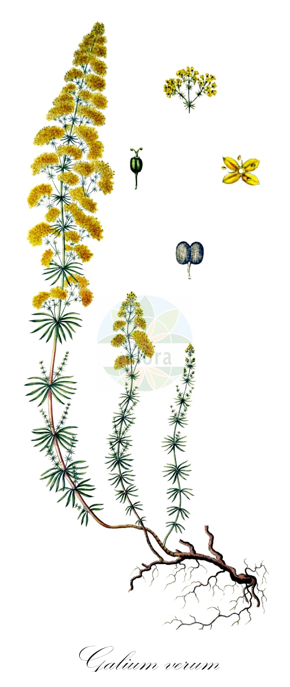 Historische Abbildung von Galium verum (Echtes Labkraut - Lady's Bedstraw). Das Bild zeigt Blatt, Bluete, Frucht und Same. ---- Historical Drawing of Galium verum (Echtes Labkraut - Lady's Bedstraw).The image is showing leaf, flower, fruit and seed.(Galium verum,Echtes Labkraut,Lady's Bedstraw,Gelbes Labkraut,Galium,Labkraut,Bedstraw,Rubiaceae,Roetegewaechse;Kaffeegewaechse;Krappgewaechse;Labkrautgewaechse,Bedstraw family,Blatt,Bluete,Frucht,Same,leaf,flower,fruit,seed,Oeder (1761-1883))