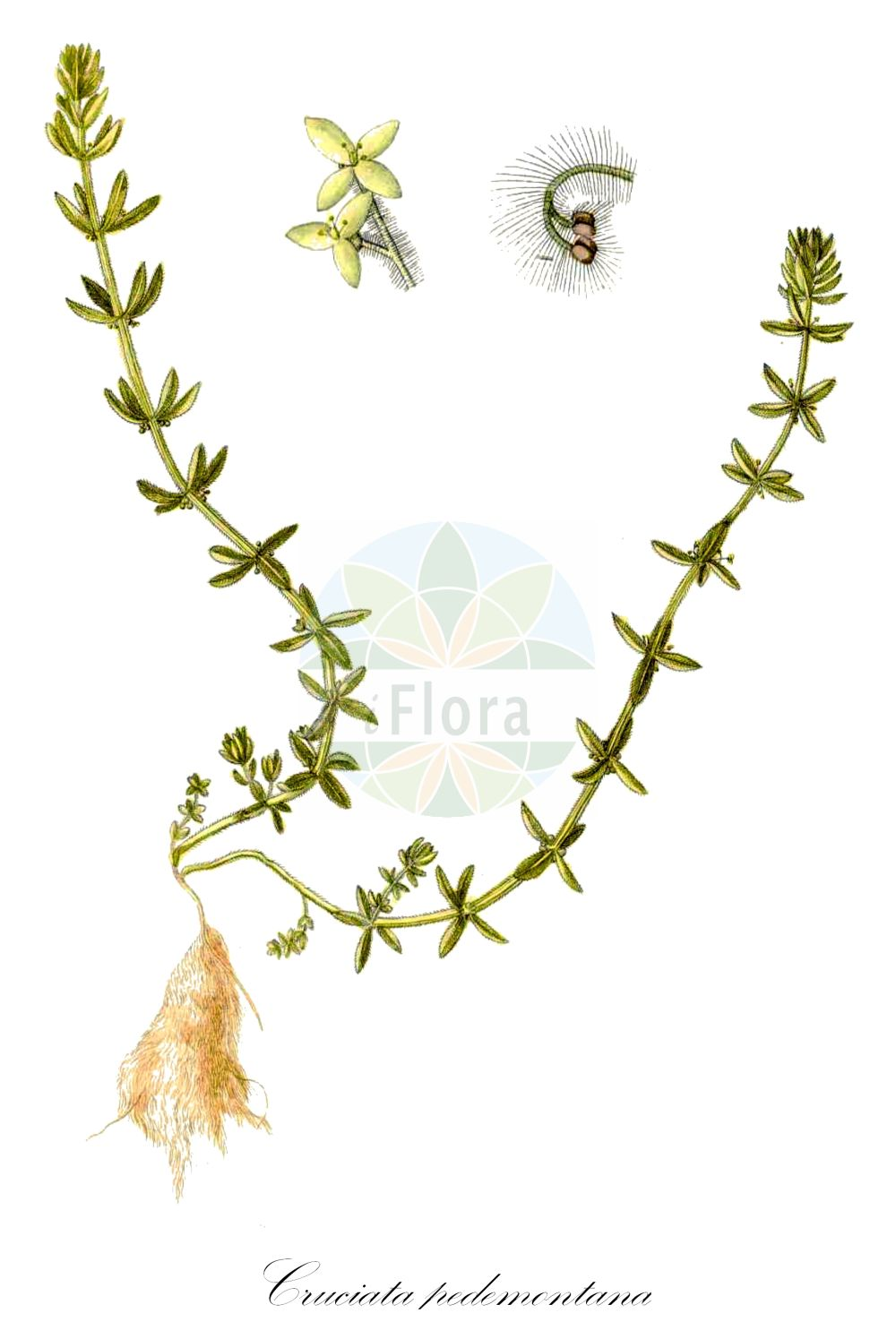 Historische Abbildung von Cruciata pedemontana. Das Bild zeigt Blatt, Bluete, Frucht und Same. ---- Historical Drawing of Cruciata pedemontana.The image is showing leaf, flower, fruit and seed.(Cruciata pedemontana,Galium pedemontanum,Galium pedemontanum (Bellardi) All.,Galium retrorsum,Valantia pedemontana,Cruciata,Kreuzlabkraut,Bedstraw,Rubiaceae,Roetegewaechse;Kaffeegewaechse;Krappgewaechse;Labkrautgewaechse,Bedstraw family,Blatt,Bluete,Frucht,Same,leaf,flower,fruit,seed,Waldstein-Wartenberg & Kitaibel (1799-1812))