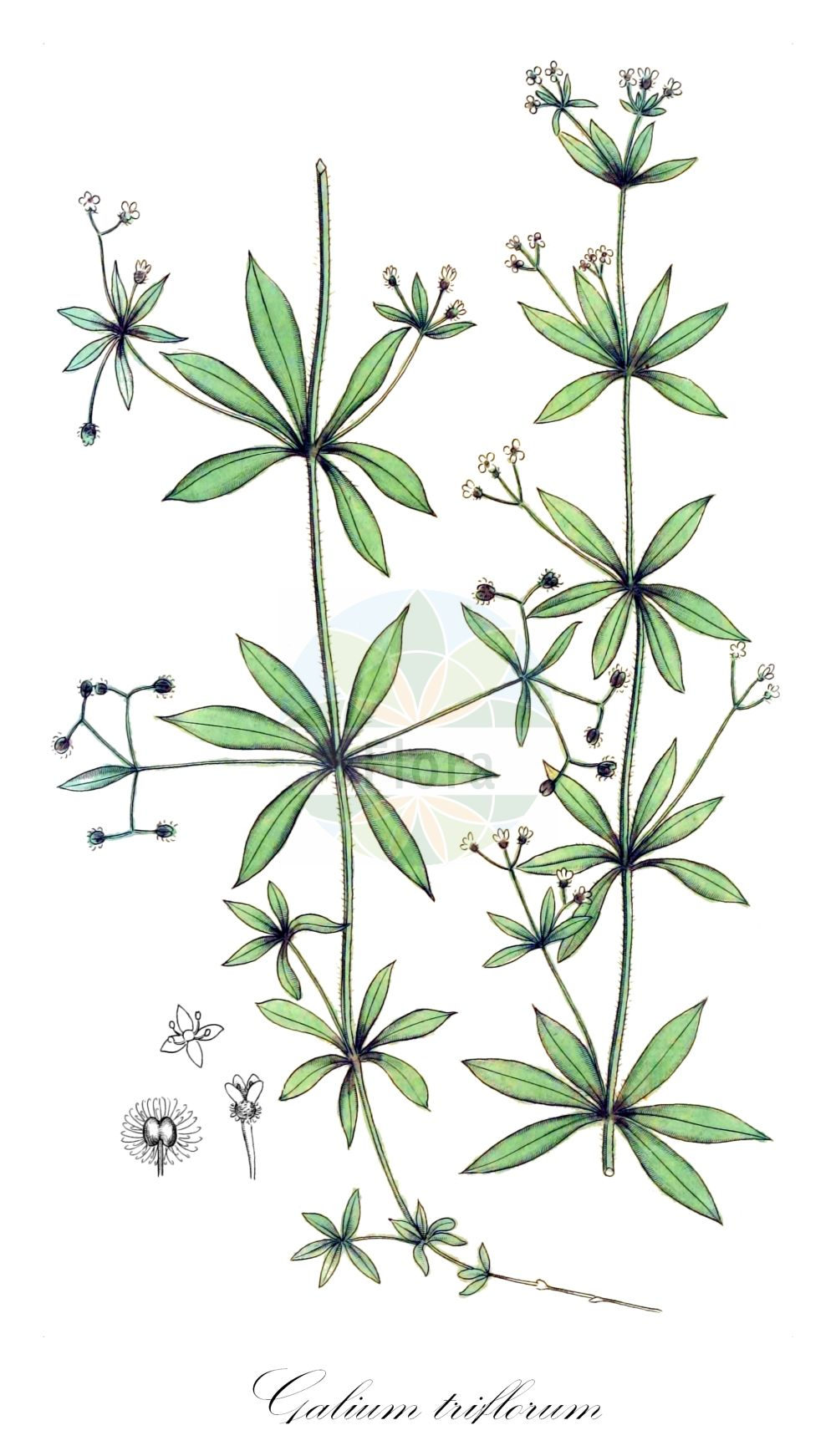 Historische Abbildung von Galium triflorum. Das Bild zeigt Blatt, Bluete, Frucht und Same. ---- Historical Drawing of Galium triflorum.The image is showing leaf, flower, fruit and seed.(Galium triflorum,Galium,Labkraut,Bedstraw,Rubiaceae,Roetegewaechse;Kaffeegewaechse;Krappgewaechse;Labkrautgewaechse,Bedstraw family,Blatt,Bluete,Frucht,Same,leaf,flower,fruit,seed,Palmstruch (1807-1843))