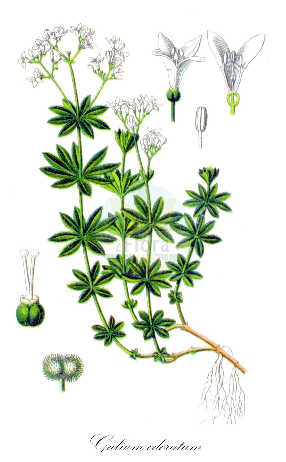 Historische Abbildung von Galium odoratum (Waldmeister - Woodruff). Das Bild zeigt Blatt, Bluete, Frucht und Same. ---- Historical Drawing of Galium odoratum (Waldmeister - Woodruff).The image is showing leaf, flower, fruit and seed.(Galium odoratum,Waldmeister,Woodruff,Asperula eugeniae,Asperula odorata,,Felsen-Meier,Mugweed,Sweetscented Bedstraw,Sweet ,Galium,Labkraut,Bedstraw,Rubiaceae,Roetegewaechse;Kaffeegewaechse;Krappgewaechse;Labkrautgewaechse,Bedstraw family,Blatt,Bluete,Frucht,Same,leaf,flower,fruit,seed,Sturm (1796f))