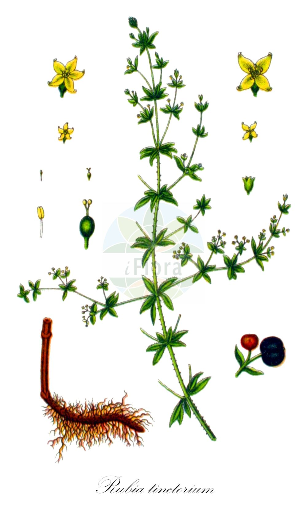 Historische Abbildung von Rubia tinctorium. Das Bild zeigt Blatt, Bluete, Frucht und Same. ---- Historical Drawing of Rubia tinctorium.The image is showing leaf, flower, fruit and seed.(Rubia tinctorium,Rubia iberica,var. iberica,Rubia,Faerberroete,Dyer's Madder,Rubiaceae,Roetegewaechse;Kaffeegewaechse;Krappgewaechse;Labkrautgewaechse,Bedstraw family,Blatt,Bluete,Frucht,Same,leaf,flower,fruit,seed,Sturm (1796f))