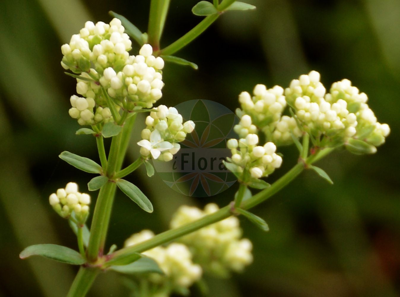 Foto von Galium rubioides. Das Foto wurde in Jardin des Plantes, Paris, Frankreich aufgenommen. ---- Photo of Galium rubioides.The picture was taken in Jardin des Plantes, Paris, France.(Galium rubioides,Galium physocarpum,,Galium,Labkraut,Bedstraw,Rubiaceae,Roetegewaechse;Kaffeegewaechse;Krappgewaechse;Labkrautgewaechse,Bedstraw family)
