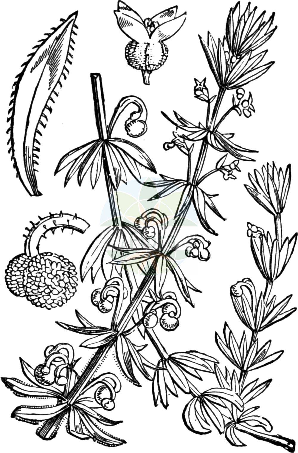 Historische Abbildung von Galium tricornutum (Dreihoerniges Labkraut - Corn Cleavers). Das Bild zeigt Blatt, Bluete, Frucht und Same. ---- Historical Drawing of Galium tricornutum (Dreihoerniges Labkraut - Corn Cleavers).The image is showing leaf, flower, fruit and seed.(Galium tricornutum,Dreihoerniges Labkraut,Corn Cleavers,Galium tricorne,Galium tricornutum,Dreihoerniges Labkraut,Corn Cleavers,Roughfruit Corn Bedstraw,Rough Corn Bedstraw,Rough Corn Cleavers,Small Goosegrass,Three-horn Bedstraw,Galium,Labkraut,Bedstraw,Rubiaceae,Roetegewaechse,Kaffeegewaechse,Krappgewaechse,Labkrautgewaechse,Bedstraw family,Blatt,Bluete,Frucht,Same,leaf,flower,fruit,seed,Fitch et al. (1880))