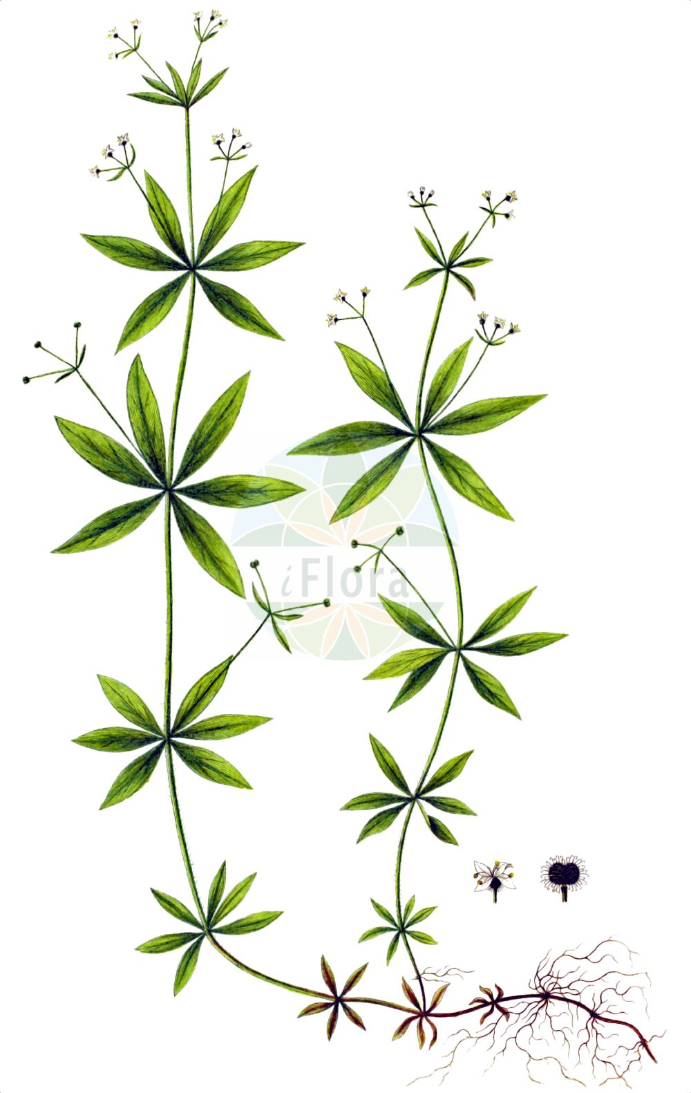 Historische Abbildung von Galium triflorum. Das Bild zeigt Blatt, Bluete, Frucht und Same. ---- Historical Drawing of Galium triflorum.The image is showing leaf, flower, fruit and seed.(Galium triflorum,Galium triflorum,Galium,Labkraut,Bedstraw,Rubiaceae,Roetegewaechse,Kaffeegewaechse,Krappgewaechse,Labkrautgewaechse,Bedstraw family,Blatt,Bluete,Frucht,Same,leaf,flower,fruit,seed,Oeder (1761-1883))