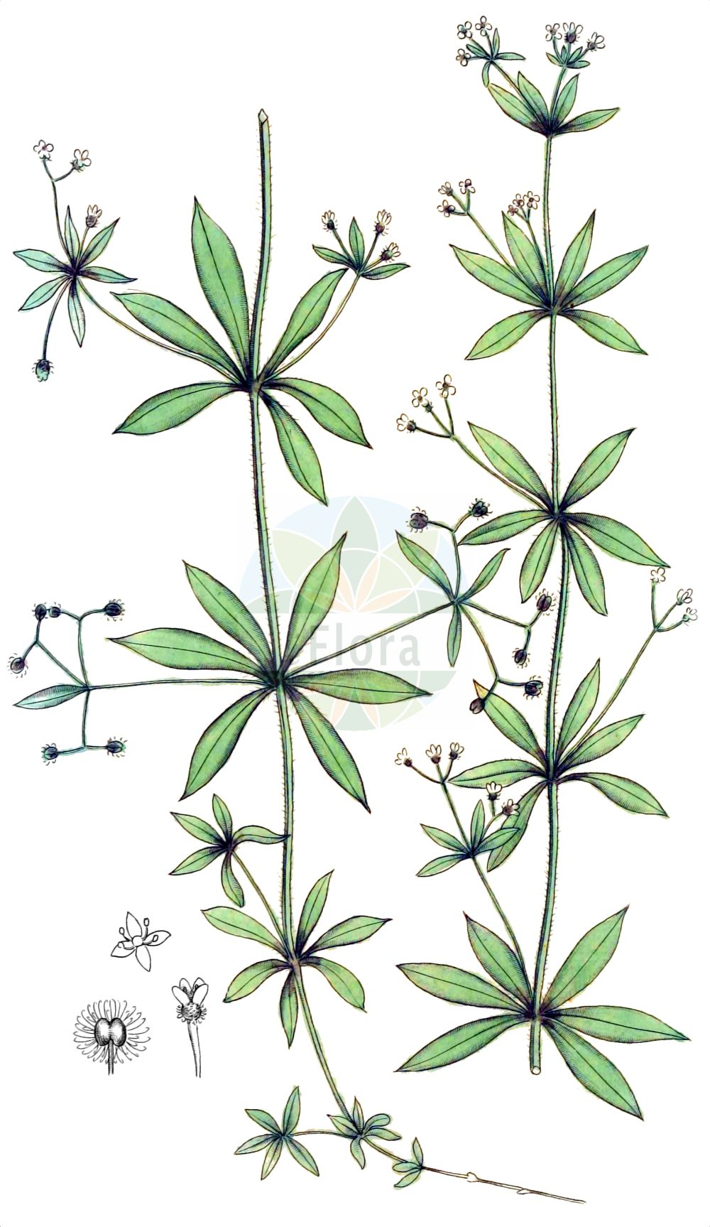 Historische Abbildung von Galium triflorum. Das Bild zeigt Blatt, Bluete, Frucht und Same. ---- Historical Drawing of Galium triflorum.The image is showing leaf, flower, fruit and seed.(Galium triflorum,Galium triflorum,Galium,Labkraut,Bedstraw,Rubiaceae,Roetegewaechse,Kaffeegewaechse,Krappgewaechse,Labkrautgewaechse,Bedstraw family,Blatt,Bluete,Frucht,Same,leaf,flower,fruit,seed,Palmstruch (1807-1843))