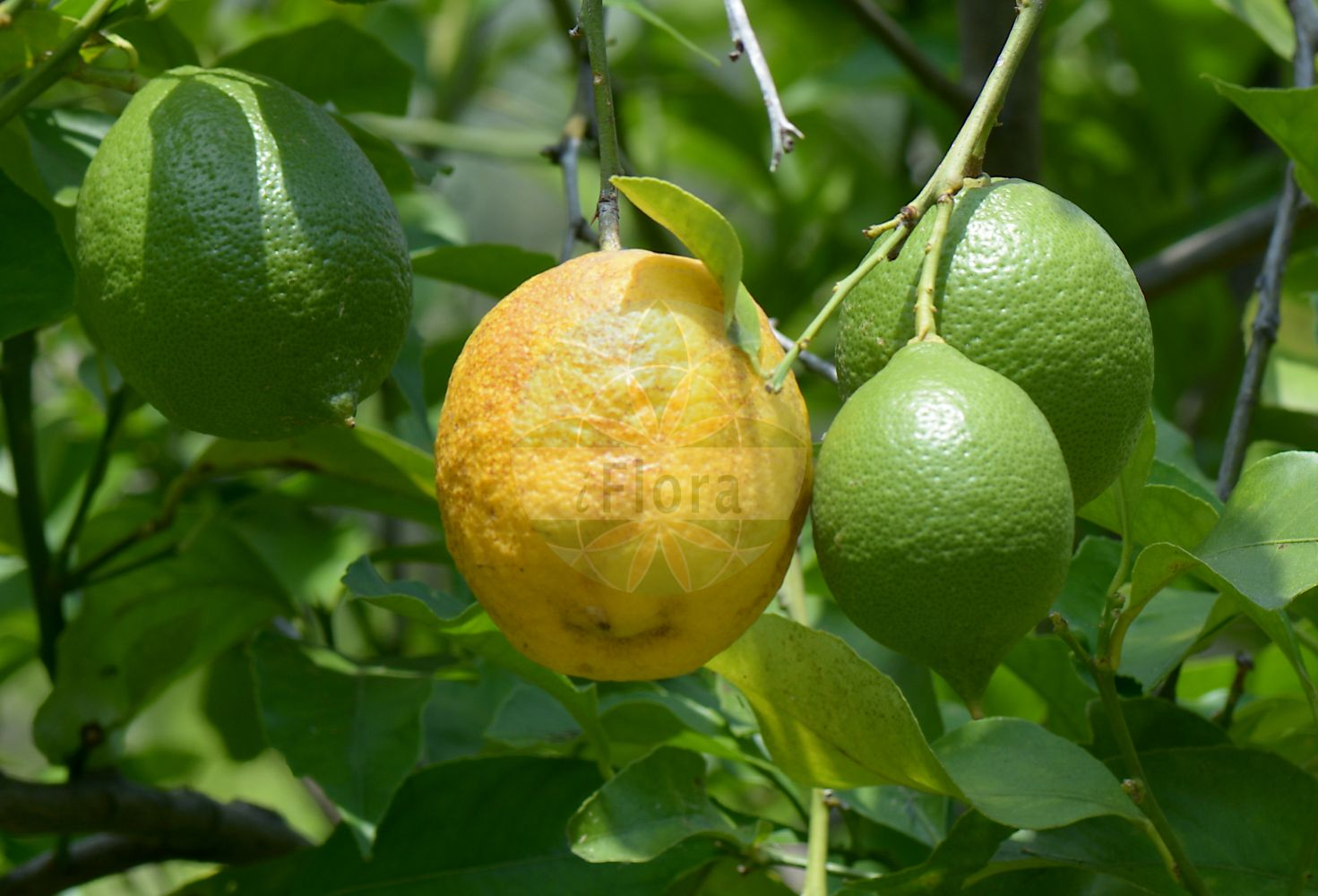 Foto von Citrus limon. Das Bild zeigt Blatt und Frucht. Das Foto wurde in Napoli, Campania, Italien aufgenommen. ---- Photo of Citrus limon.The image is showing leaf and fruit.The picture was taken in Napoli, Campania, Italy.(Citrus limon,Citrus,Rutaceae,Rautengewaechse,Rue family,Blatt,Frucht,leaf,fruit)