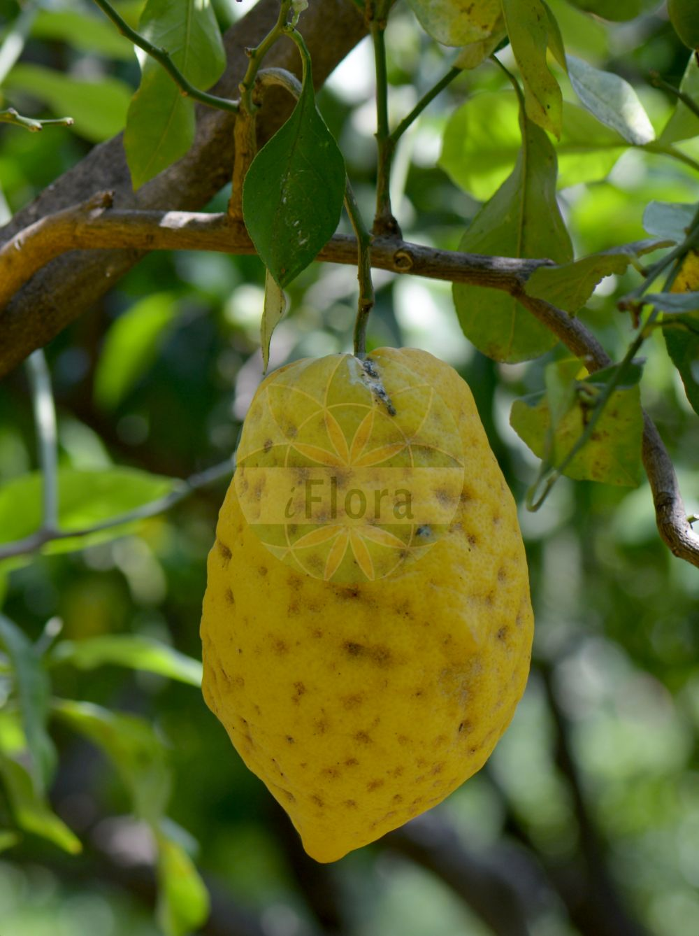 Foto von Citrus medica. Das Bild zeigt Blatt und Frucht. Das Foto wurde in Napoli, Campania, Italien aufgenommen. ---- Photo of Citrus medica.The image is showing leaf and fruit.The picture was taken in Napoli, Campania, Italy.(Citrus medica,Citrus,Rutaceae,Rautengewaechse,Rue family,Blatt,Frucht,leaf,fruit)